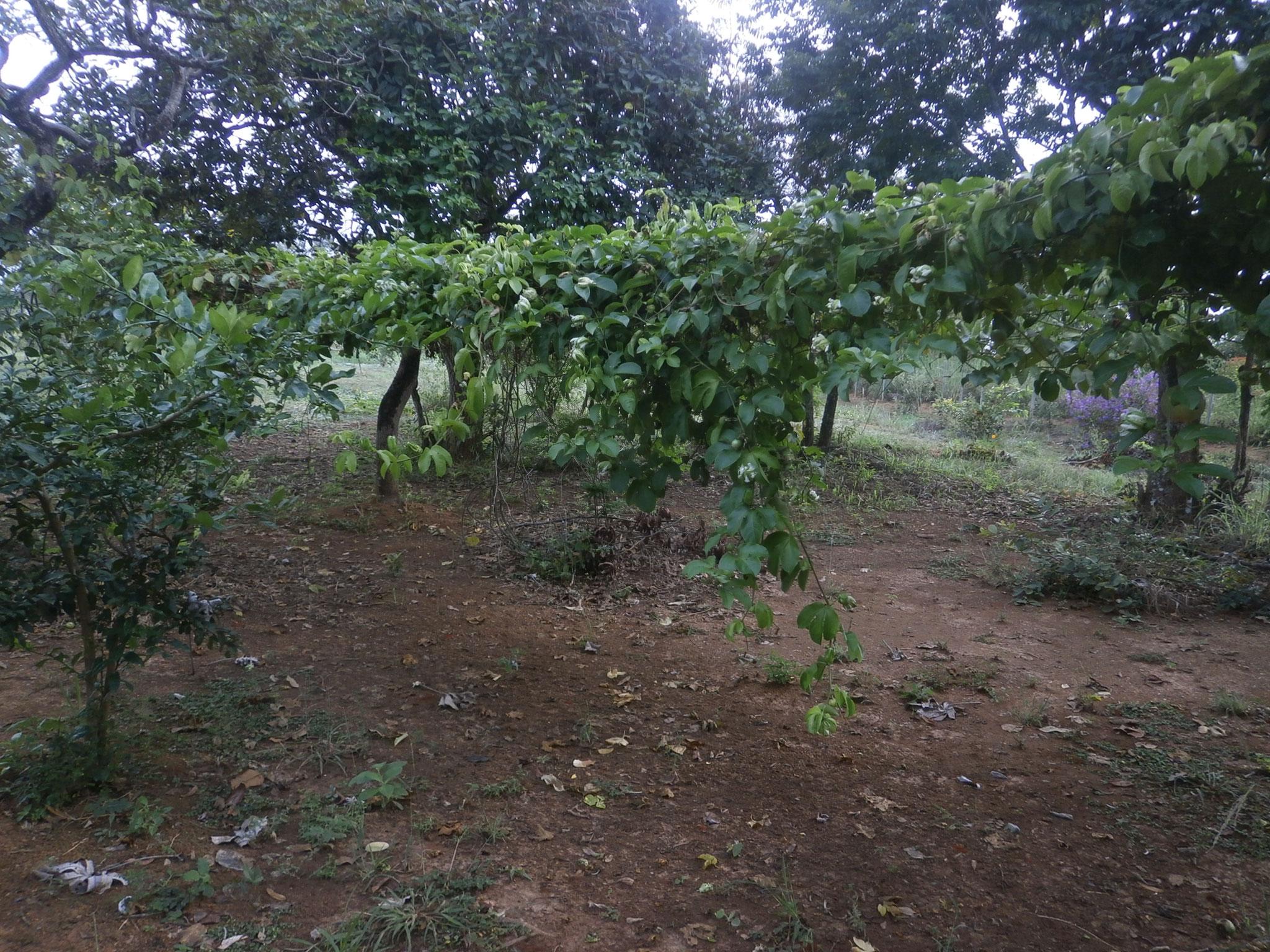 甘くて大きなパッションフルーツの木もすくすくと育っています。