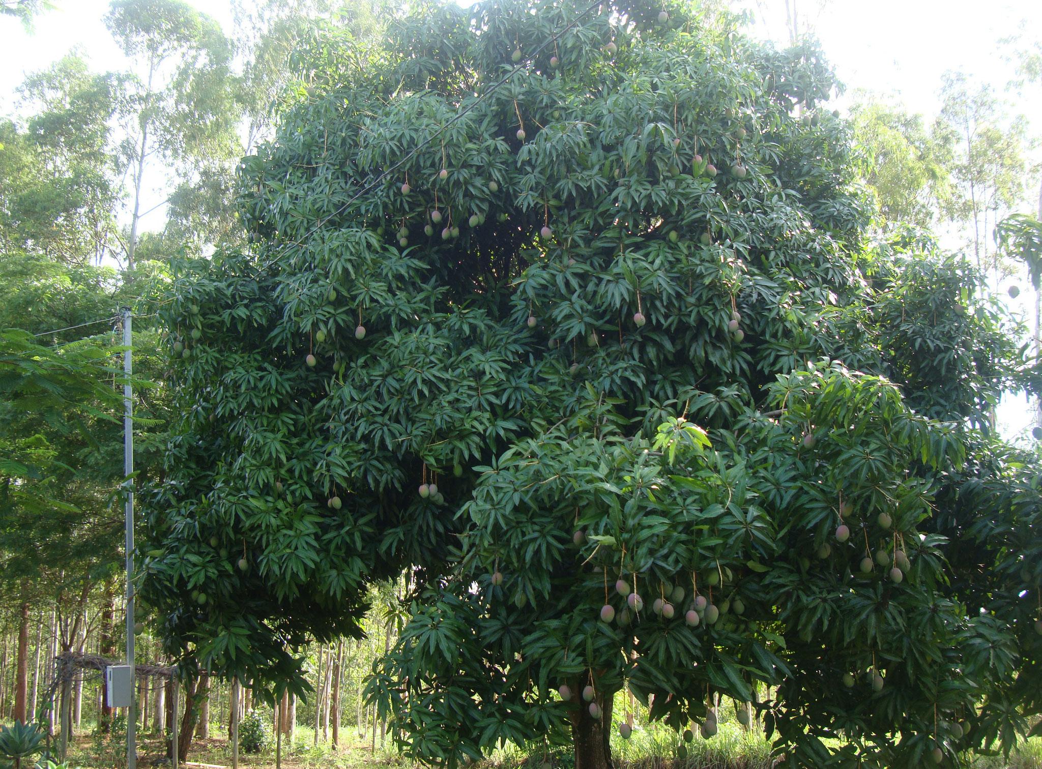 マンゴの果実も沢山育っていました。