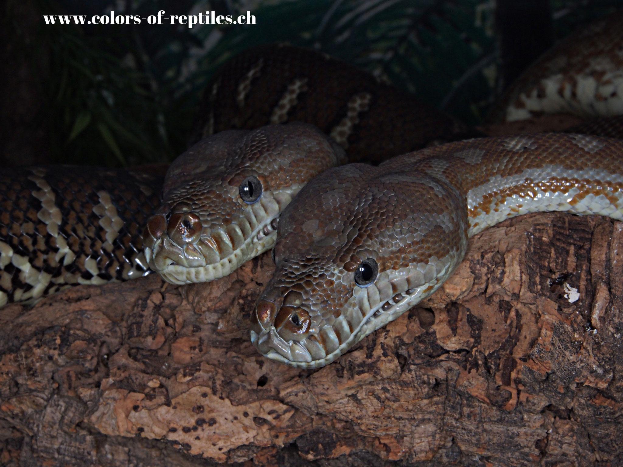 Zentralaustralischer Python - Morelia bredli
