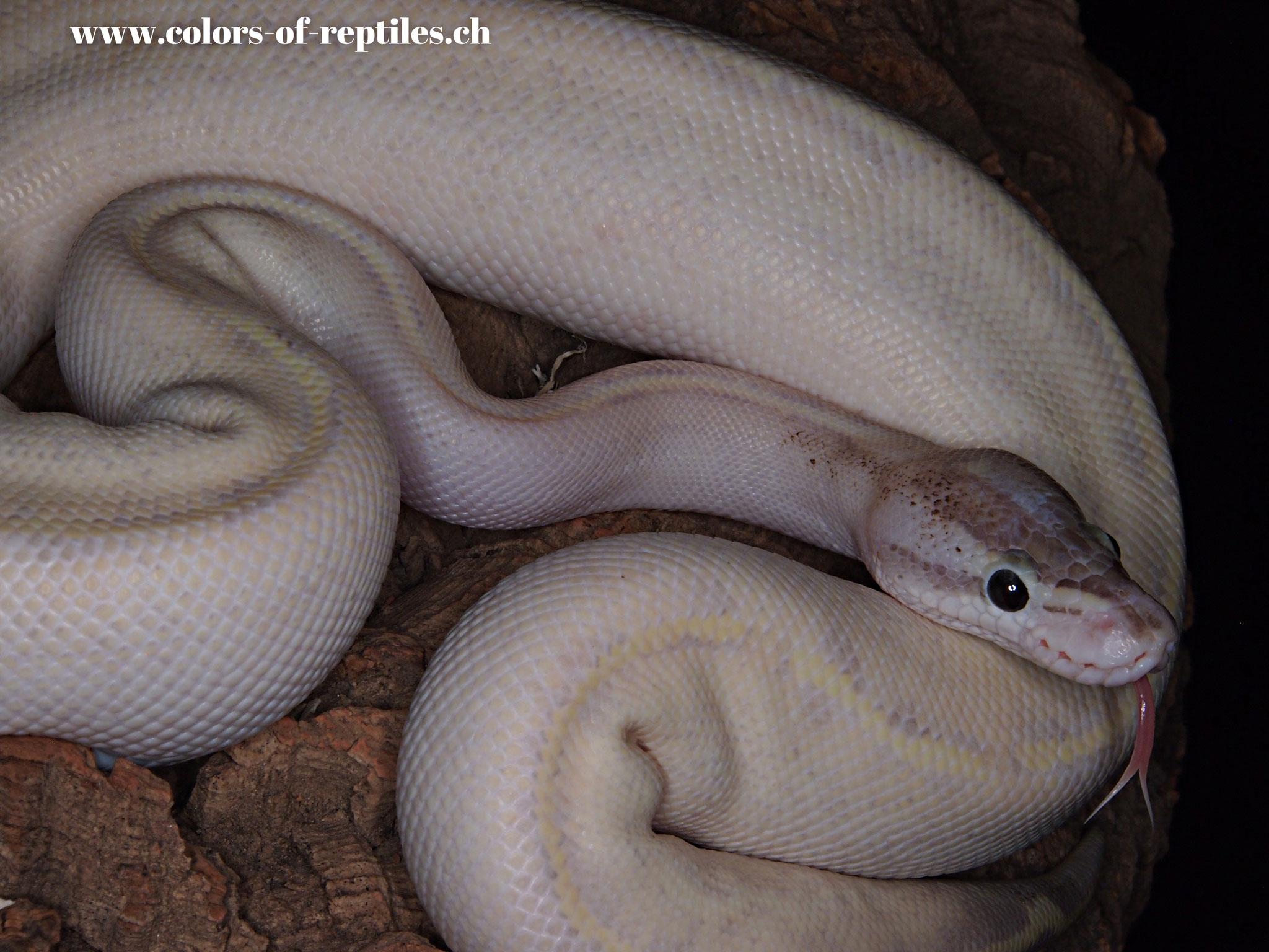 Königspython - Python regius (Ivory / Phantom)