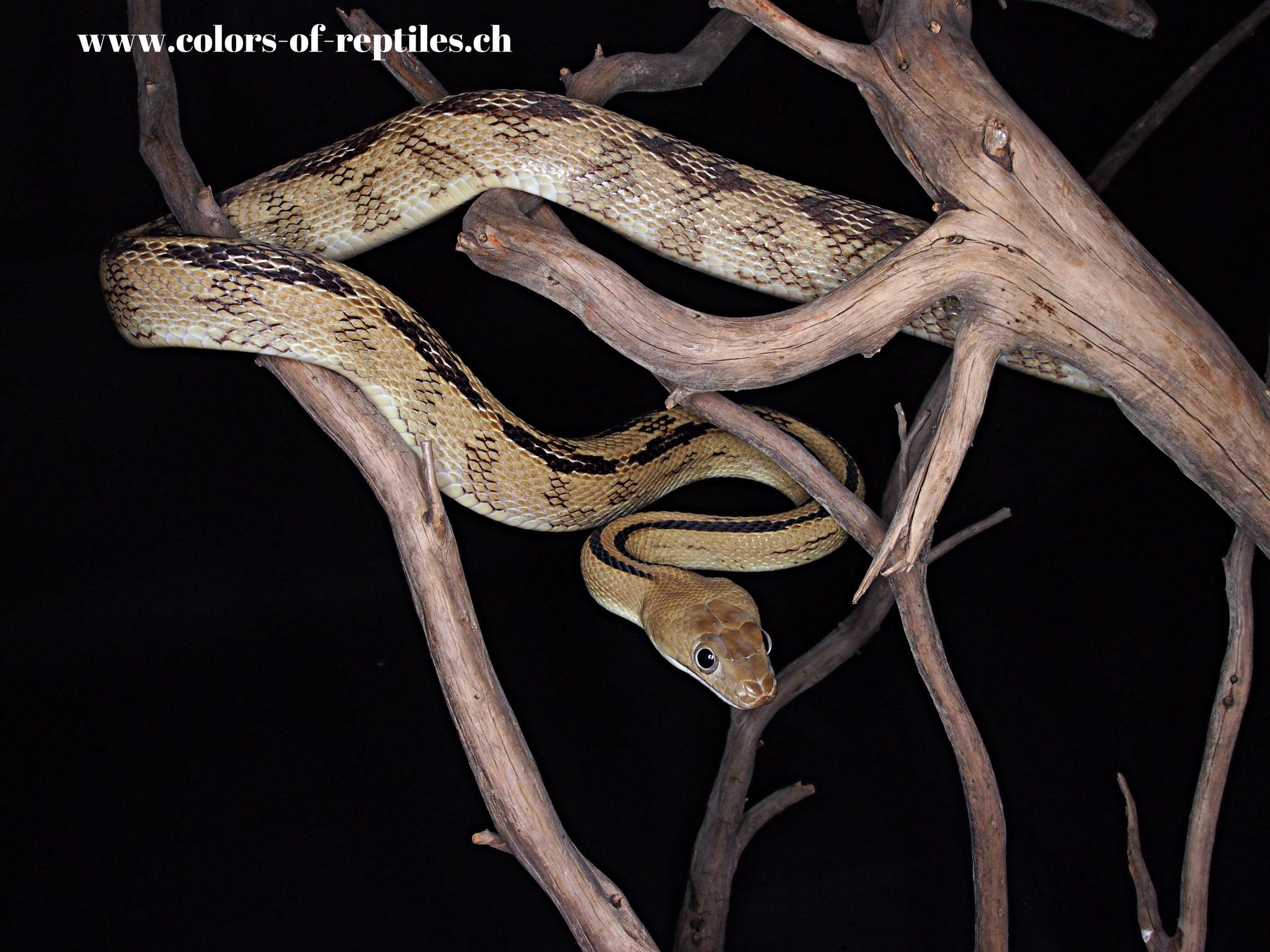 Rattennatter - Bogertophis subocularis