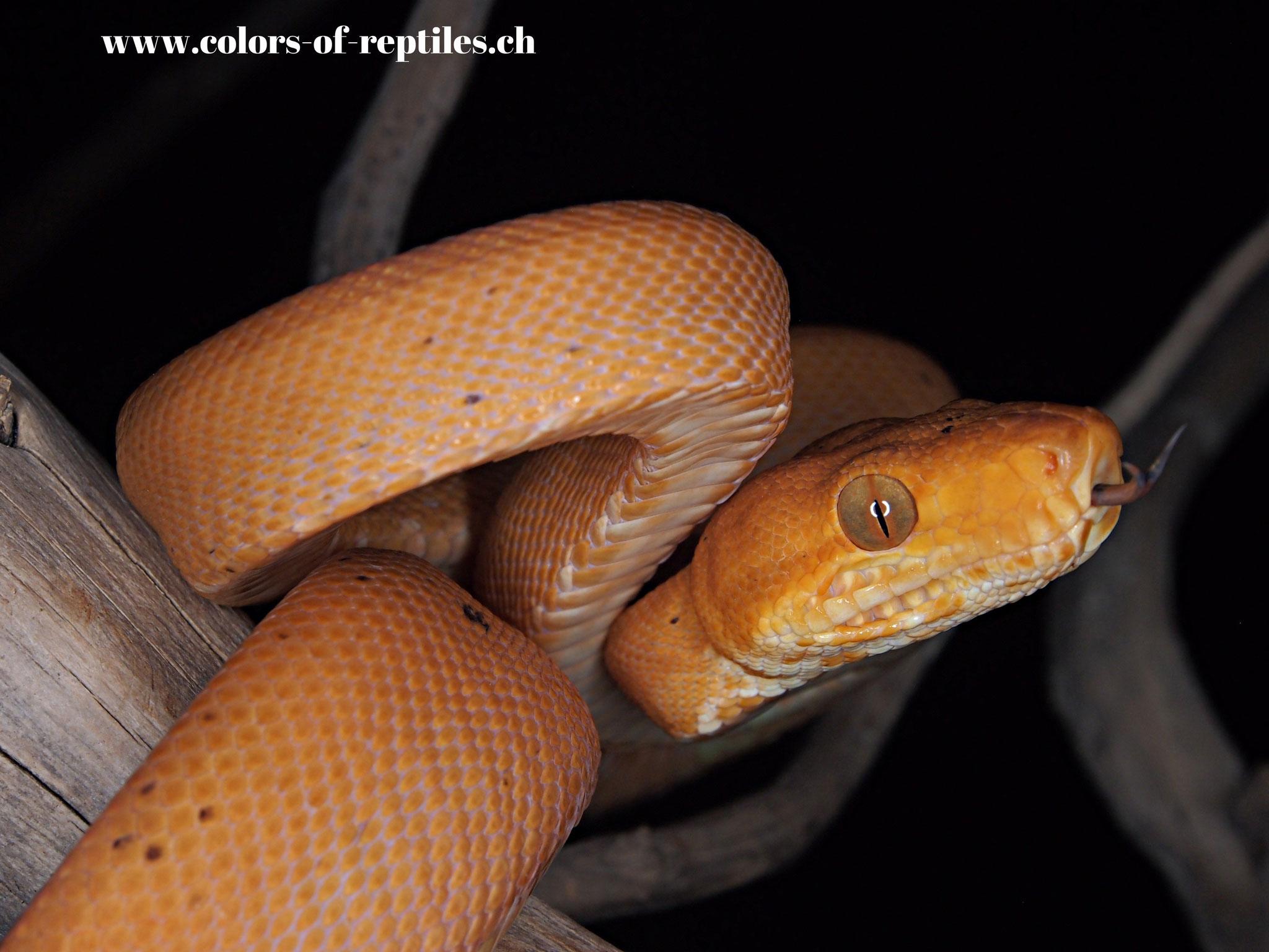 Gartenboa - Corallus hortulanus