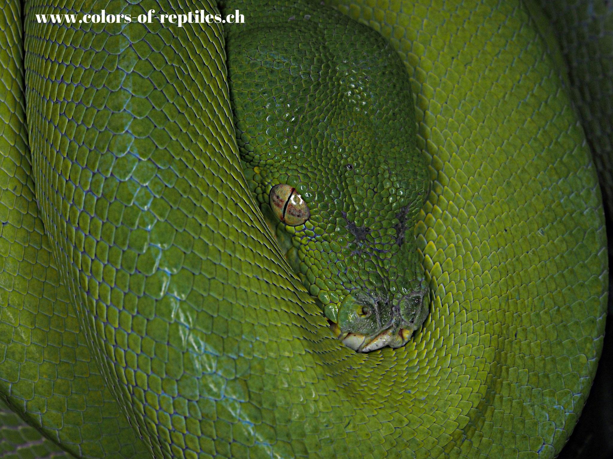 Baumpython - Morelia viridis (Sorong)