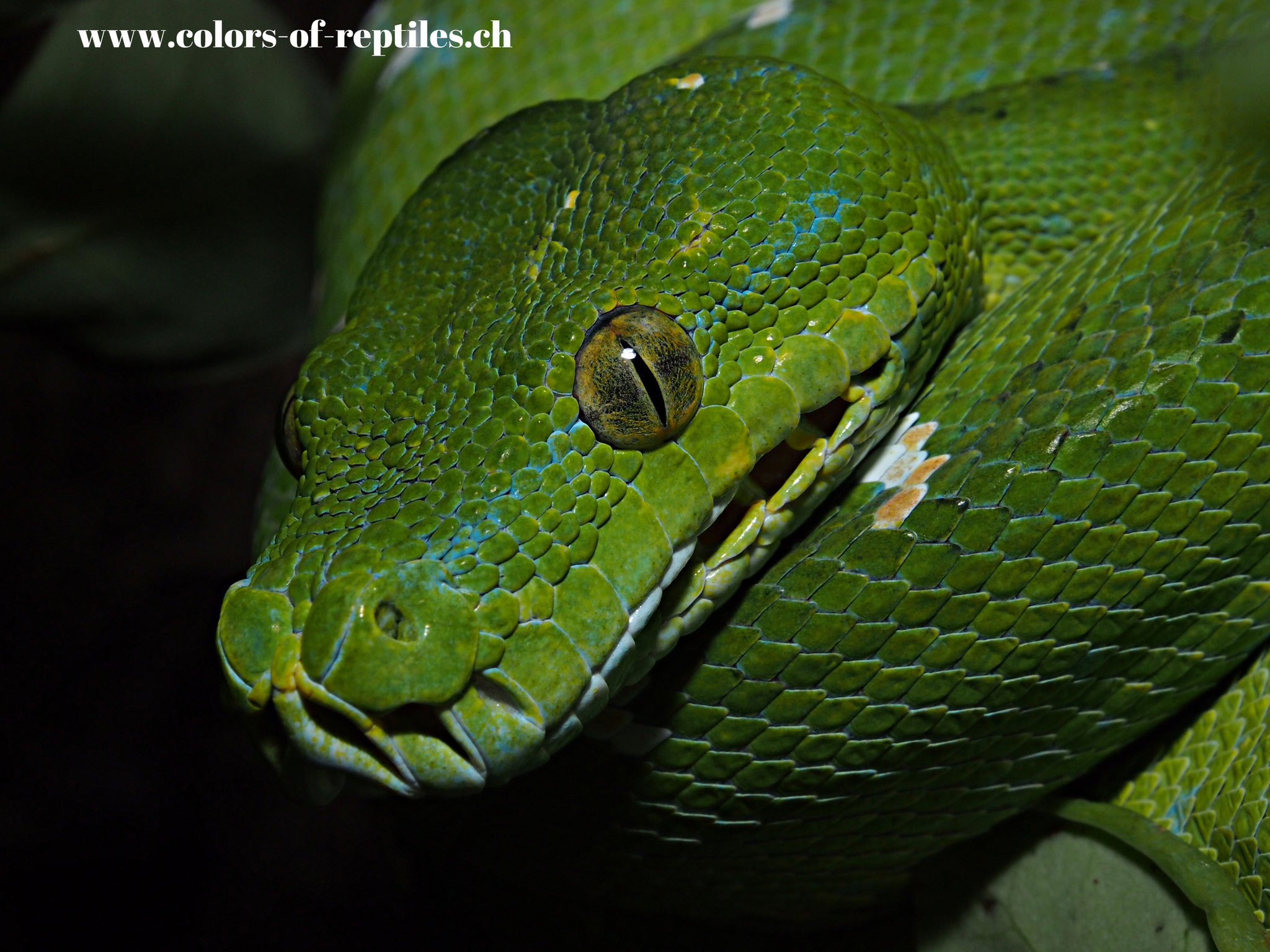 Baumpython - Morelia viridis (Mix)