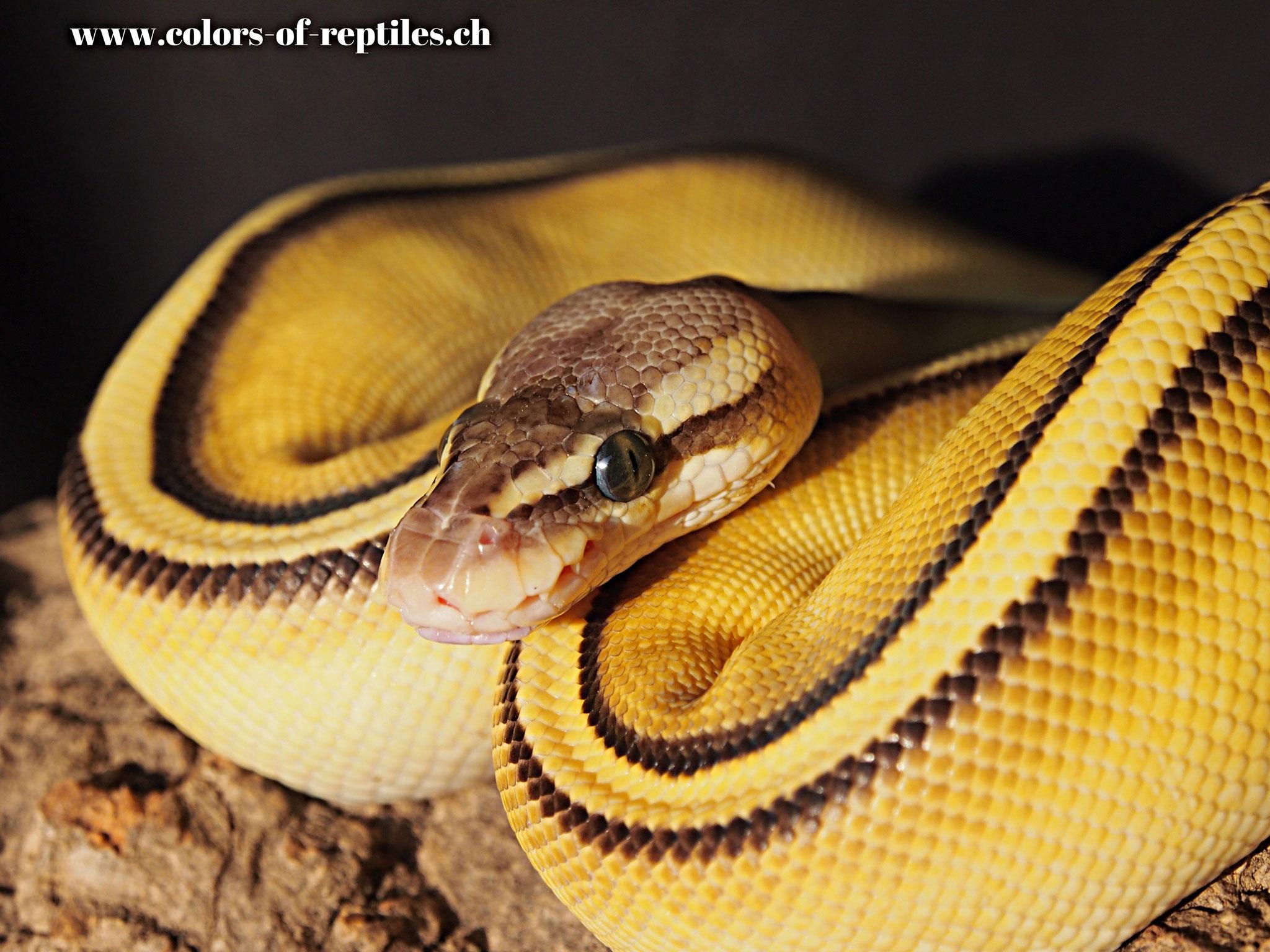 Königspython - Python regius (Pastel / G-stripe)