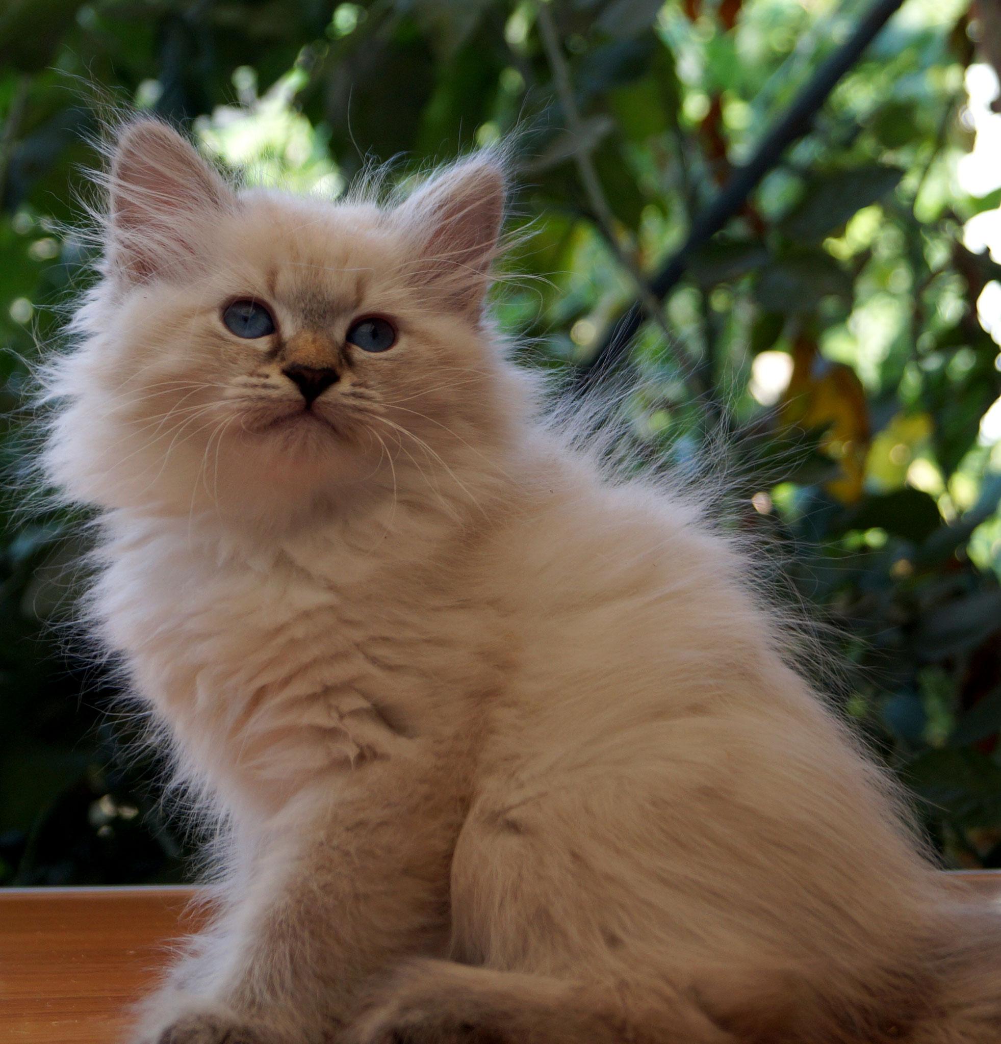 Элль, кошка, n 2133, резерв