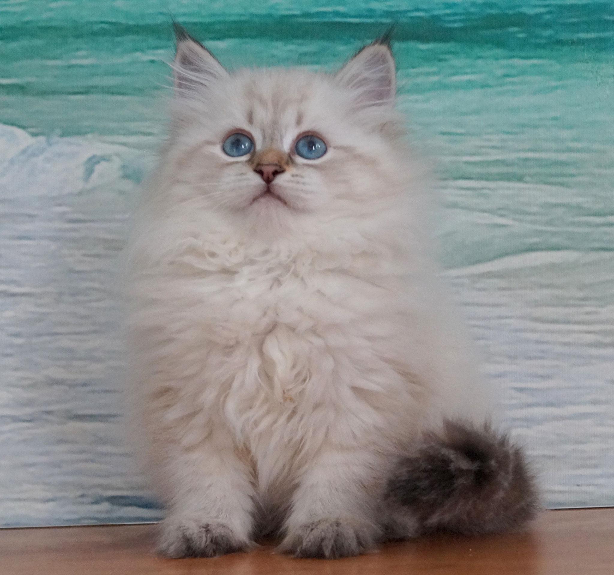 Руфь, кошка,  окрас n 21 33, резерв Украина