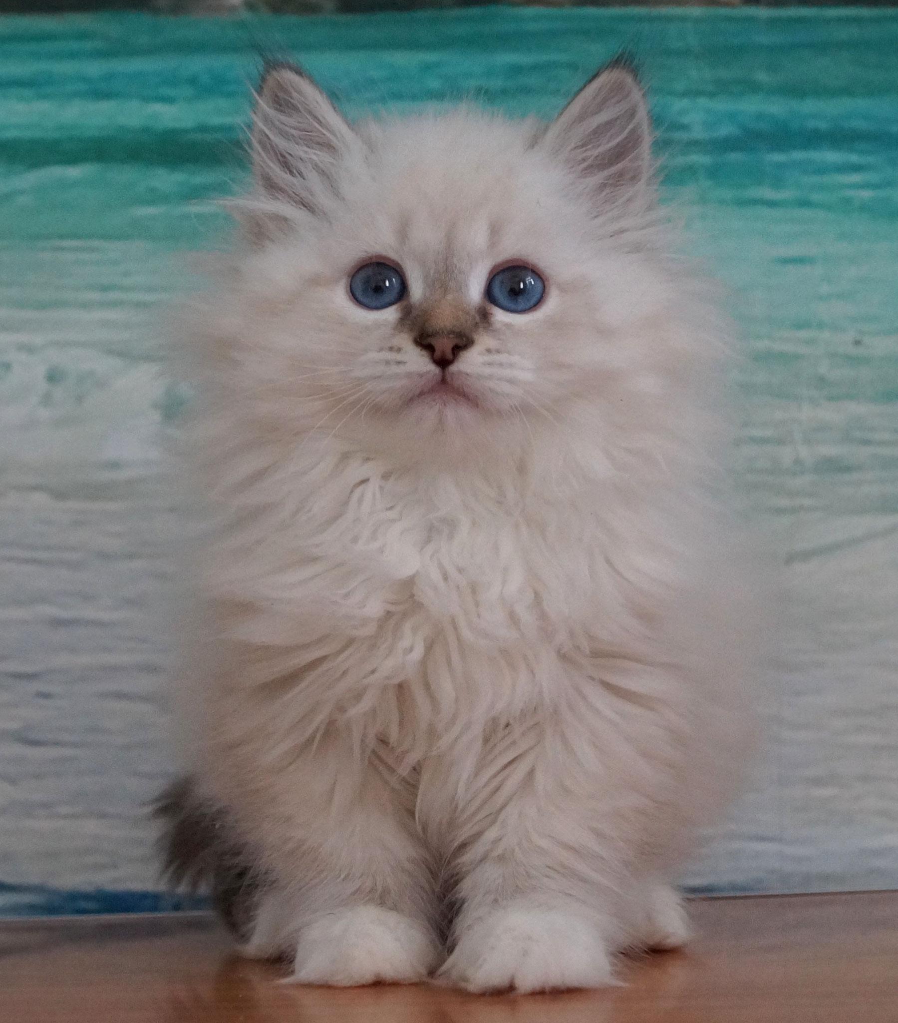Раймонд, кот, окрас n 21 33 09, резерв Самара