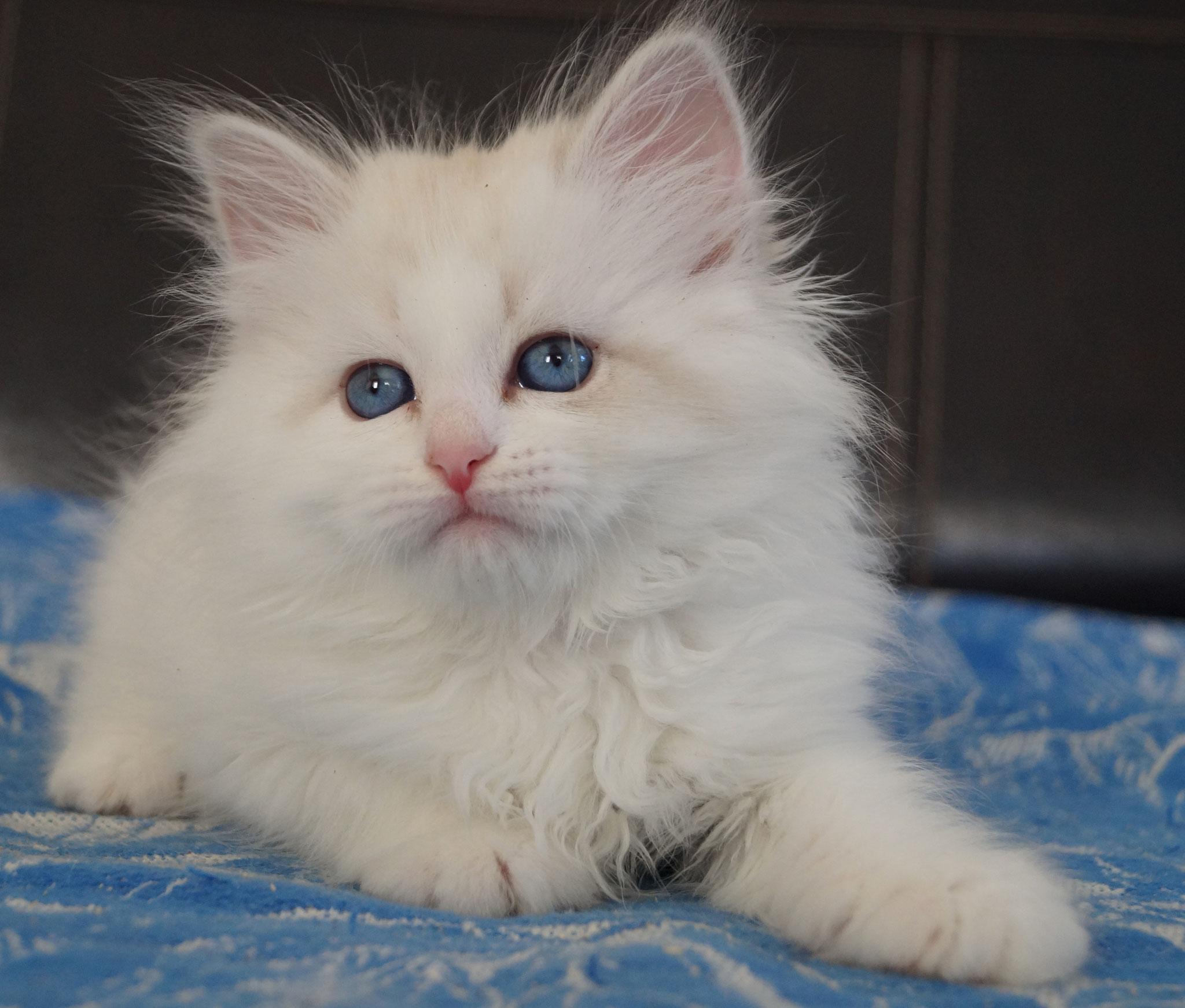 Саломея, кошка, а 21 33 02, продана