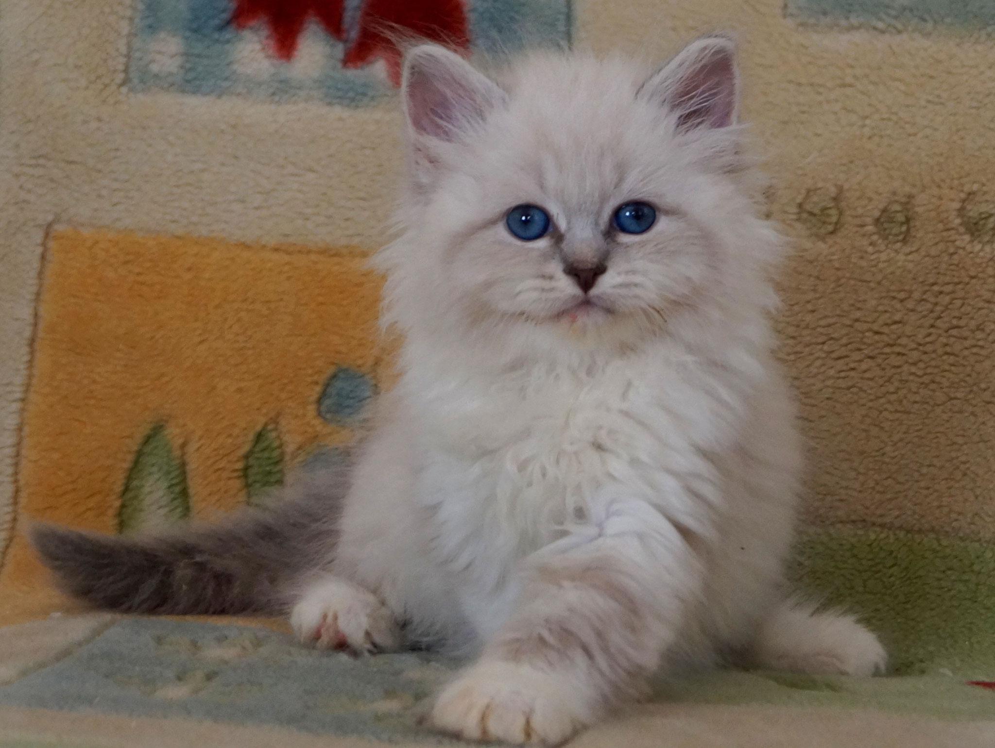 Апраксия, кошка, а 09 21 33, резерв Польша