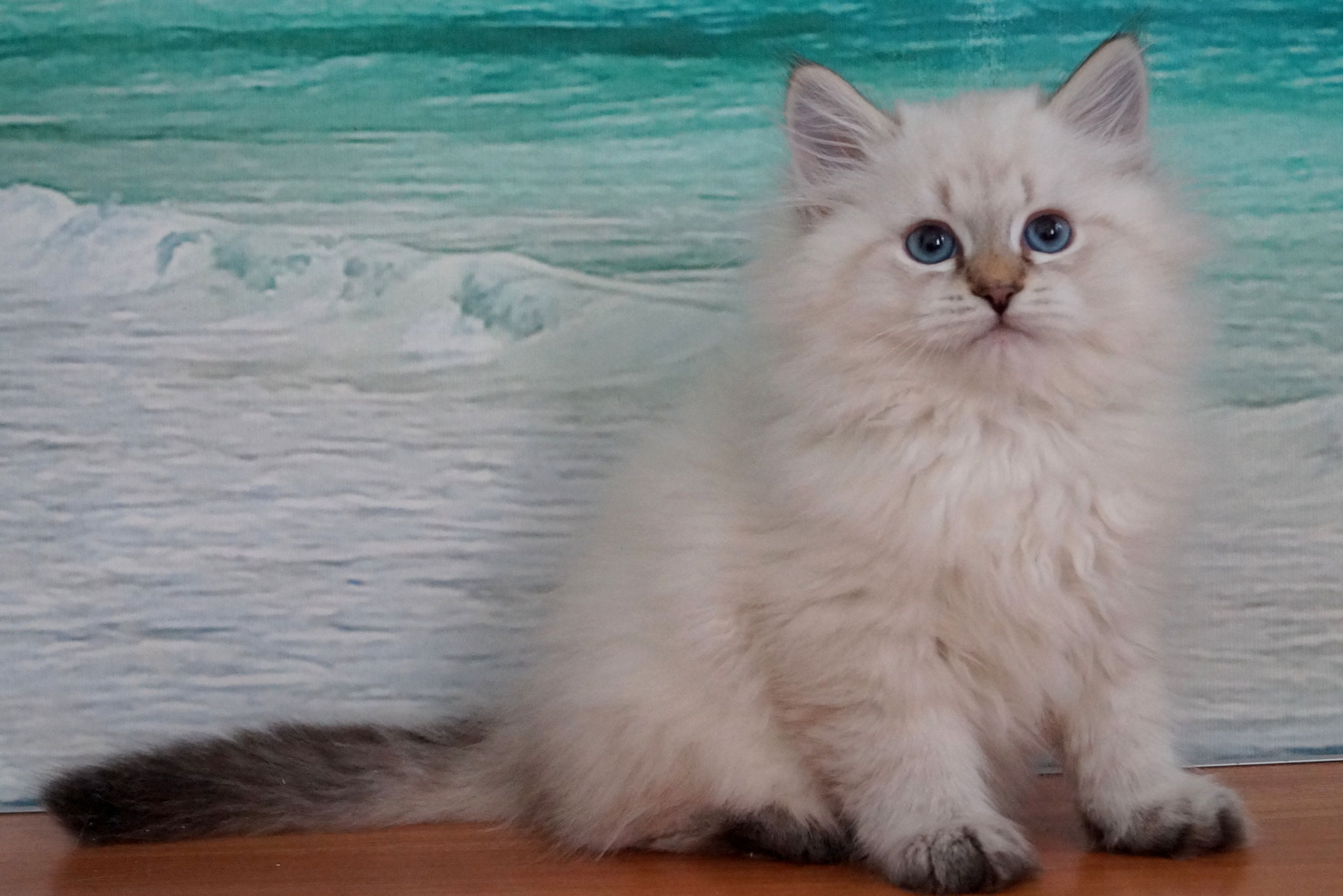 Русич, кот,  окрас n 21 33 , резерв Тольятти