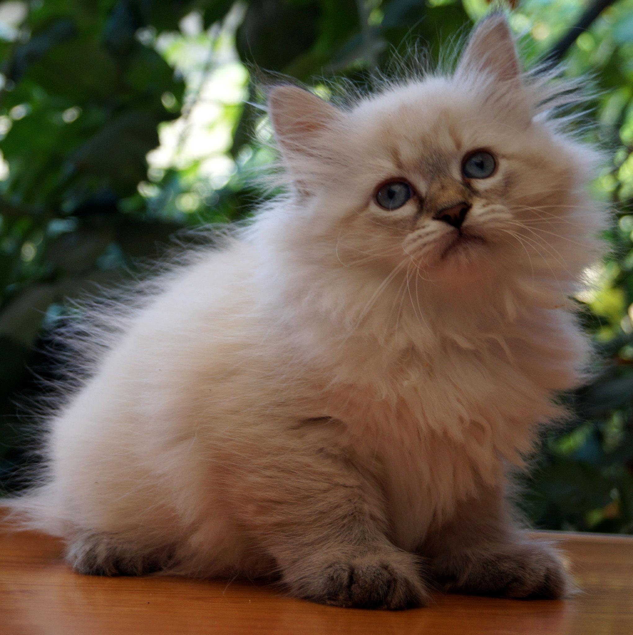 Эсфирь, кошка, n 2133, резерв