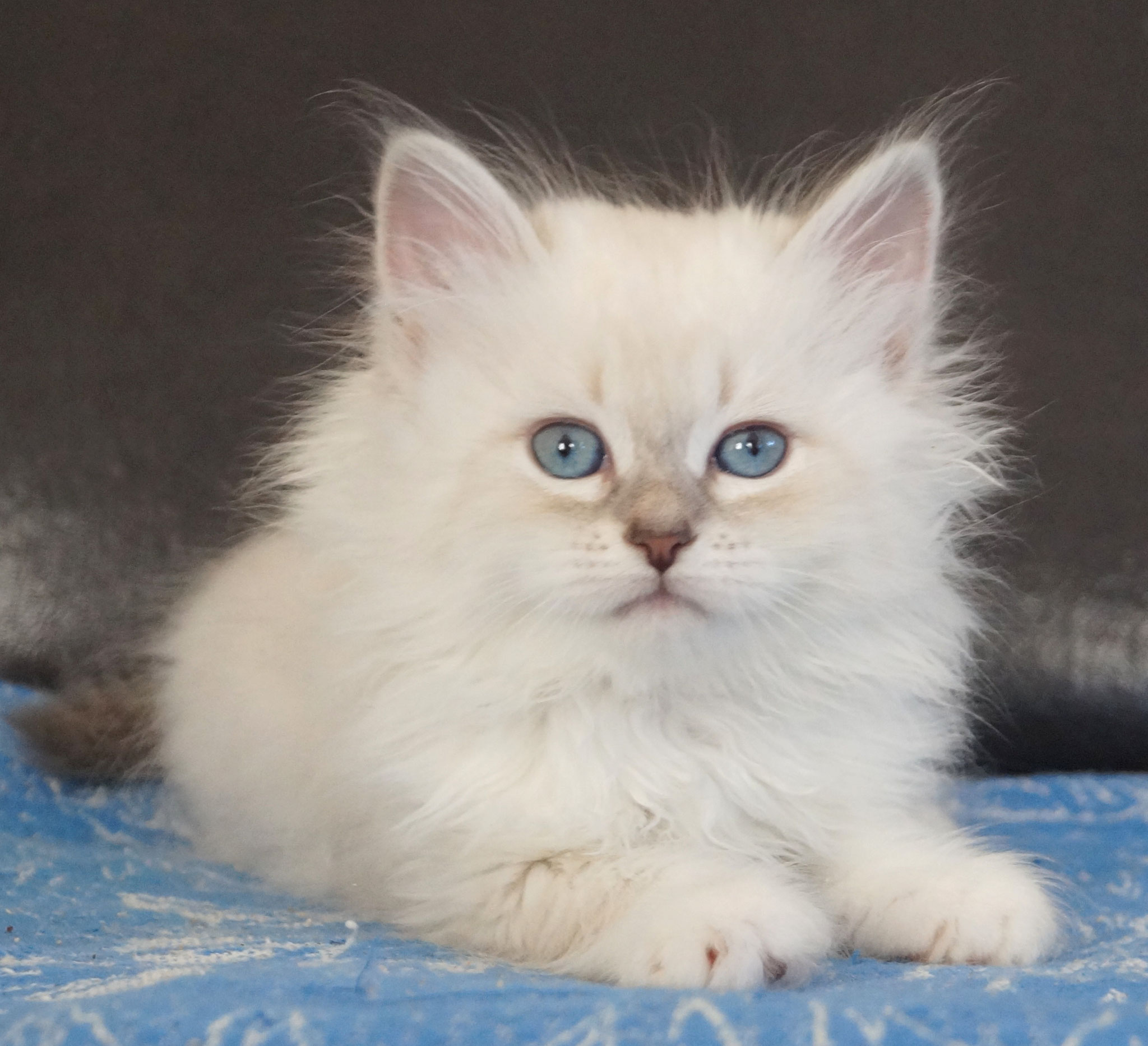 Северина, кошка, а 21 33 03/09, осталась в питомнике