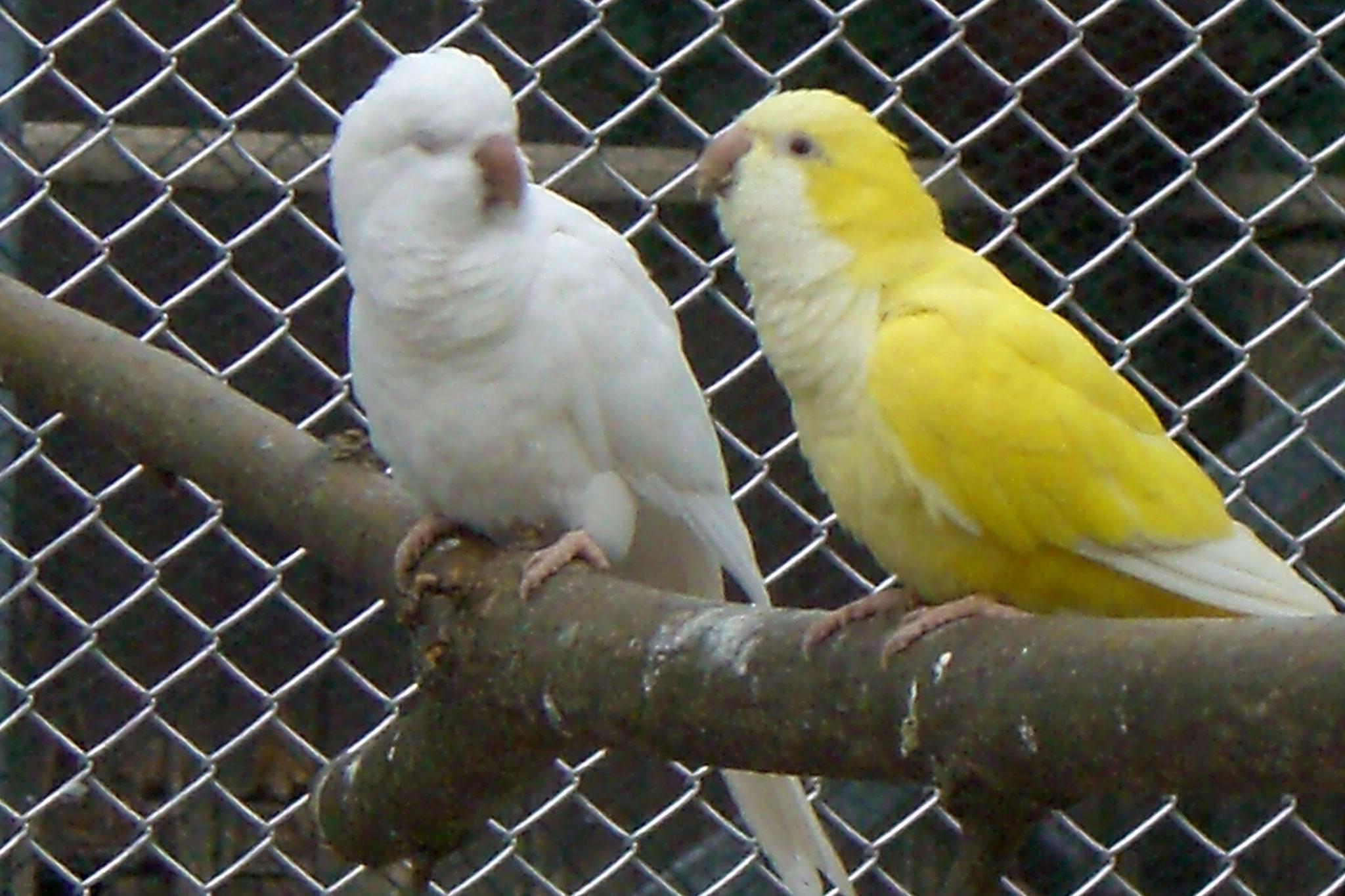 Albino x Lutino