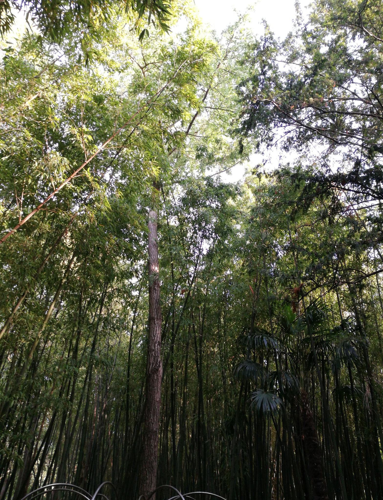 La merveilleuse bambouseraie du parc du château de Flauguergues