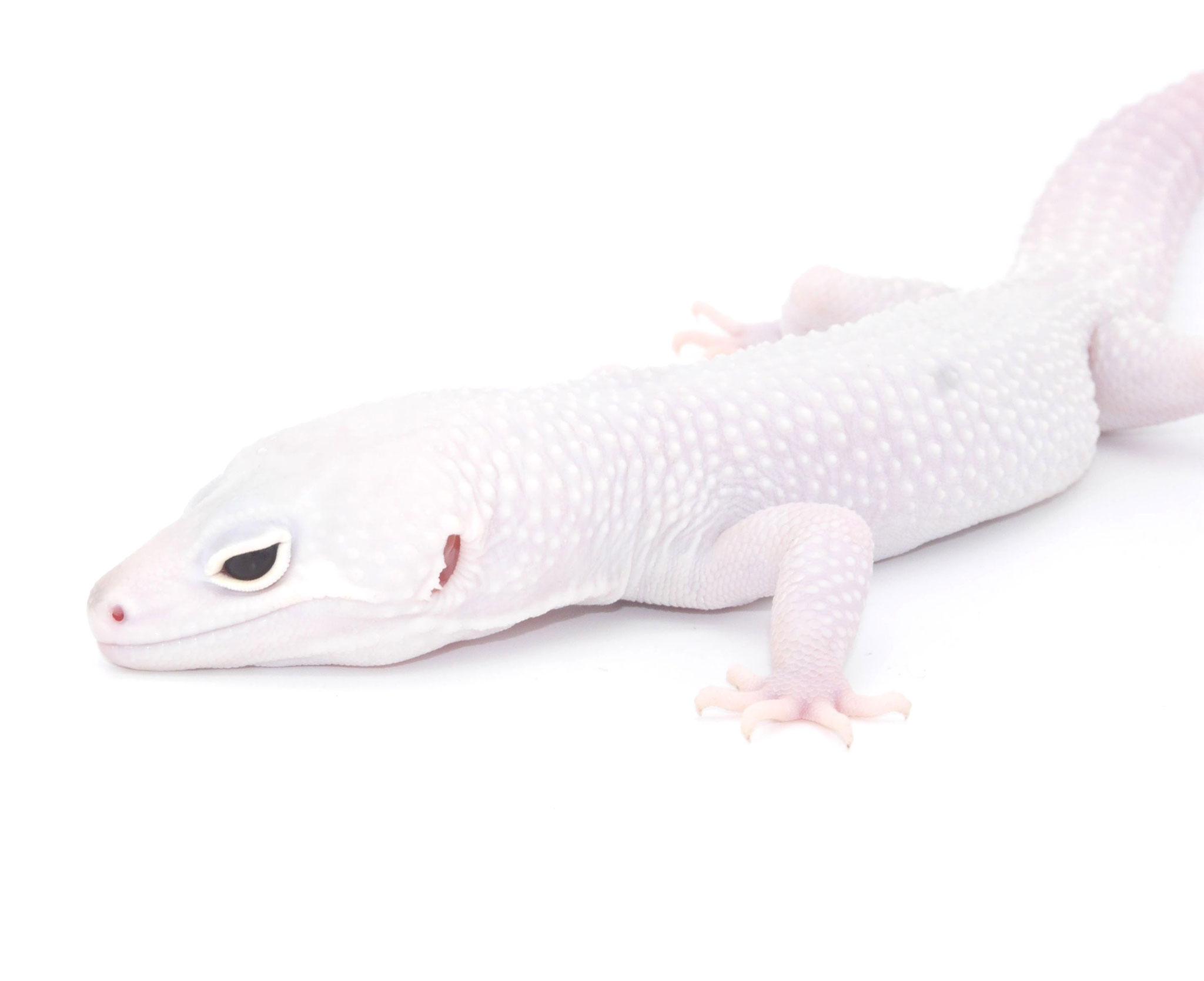 Fallstudie 3/3: Diablo Blancos sind weiße geckos mit roten Augen. Eine Kombinationsmorphe aus Blizzard, Eclipse und Tremper Albino.