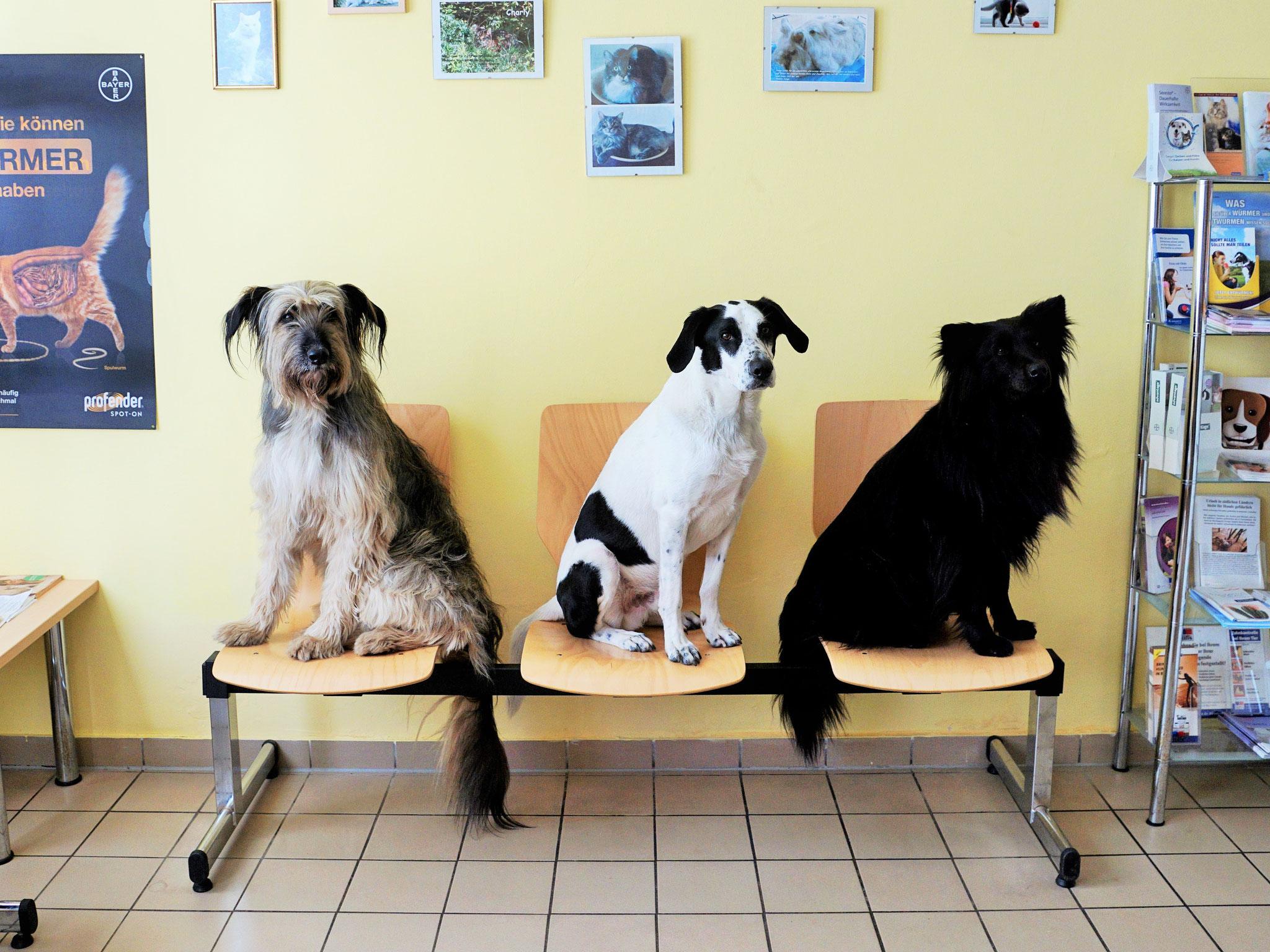 Briard-Mischling Lucy, Vorstehhund-Schäferhund-Mischling Anton und Chow-Chow-Mischling Happy in unserem hellen und geräumigen Wartezimmer