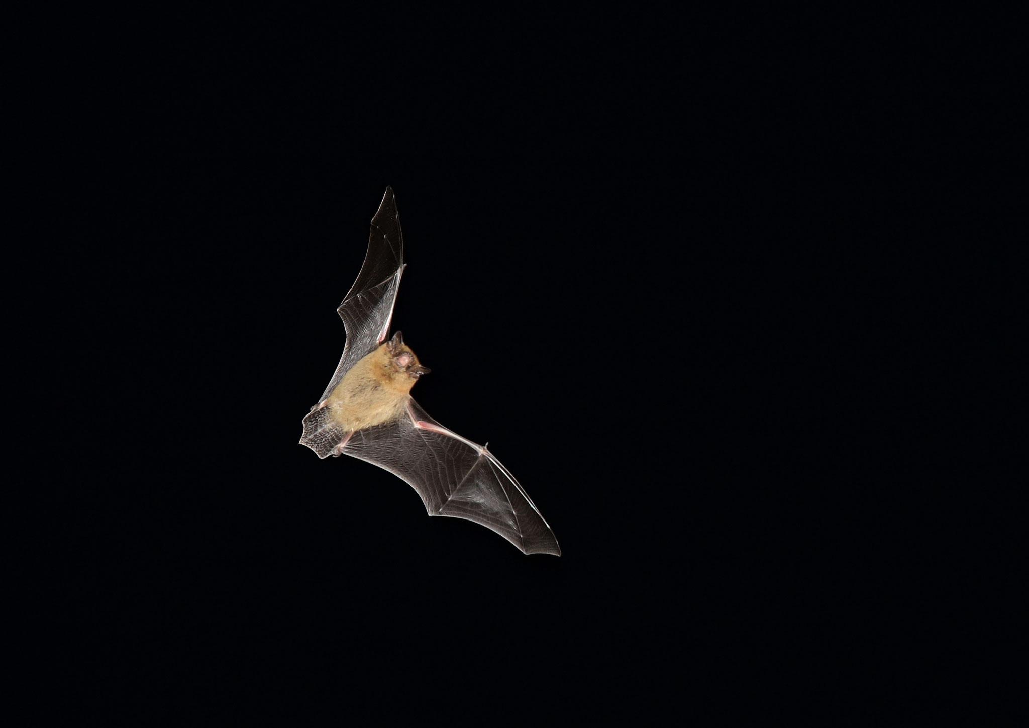 TOP 20: Mit Hilfe einer Lichtschranke gelang Harald Becker aus Gau-Odernheim dieses faszinierende Bild einer Zwergfledermaus im Flug.