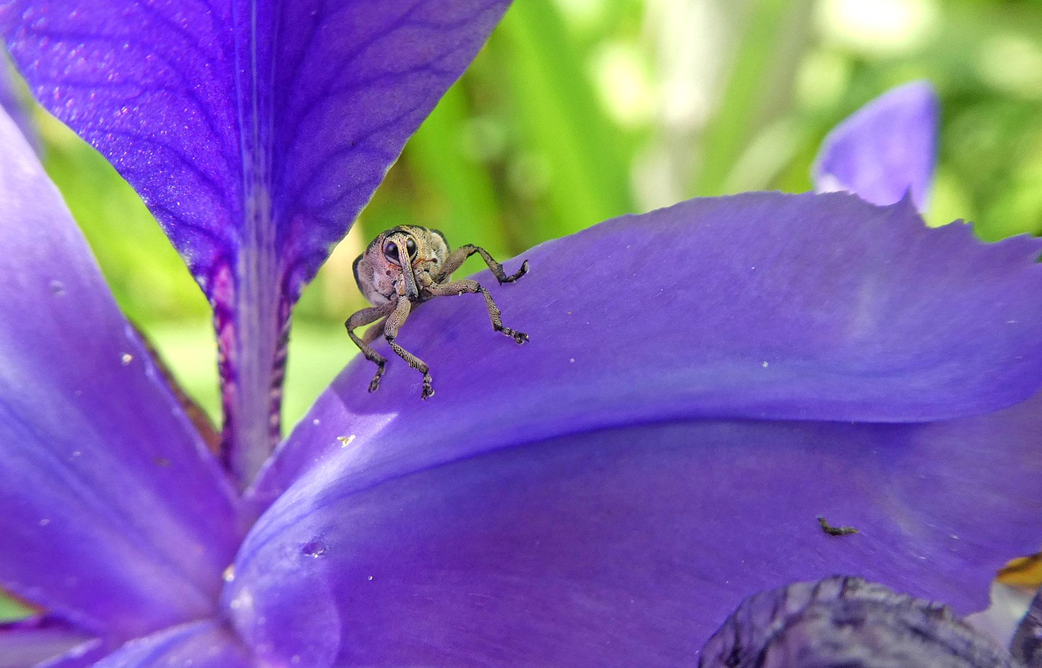 TOP 20: Da muss man schon genau hinschauen! Christine Schwarz aus Mainz-Hechtsheim hat diesen Rüsselkäfer auf einer Schwertlilienblüte aufgenommen.