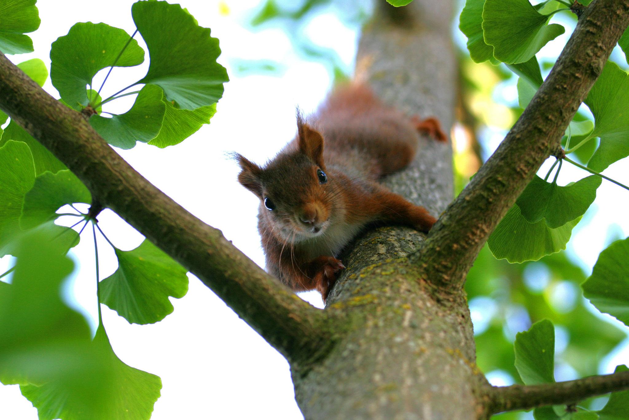"""TOP 20: """"Was macht die da?"""" scheint sich dieses kesse Eichhörnchen auf dem Bild von Antje Fries aus Osthofen zu fragen."""