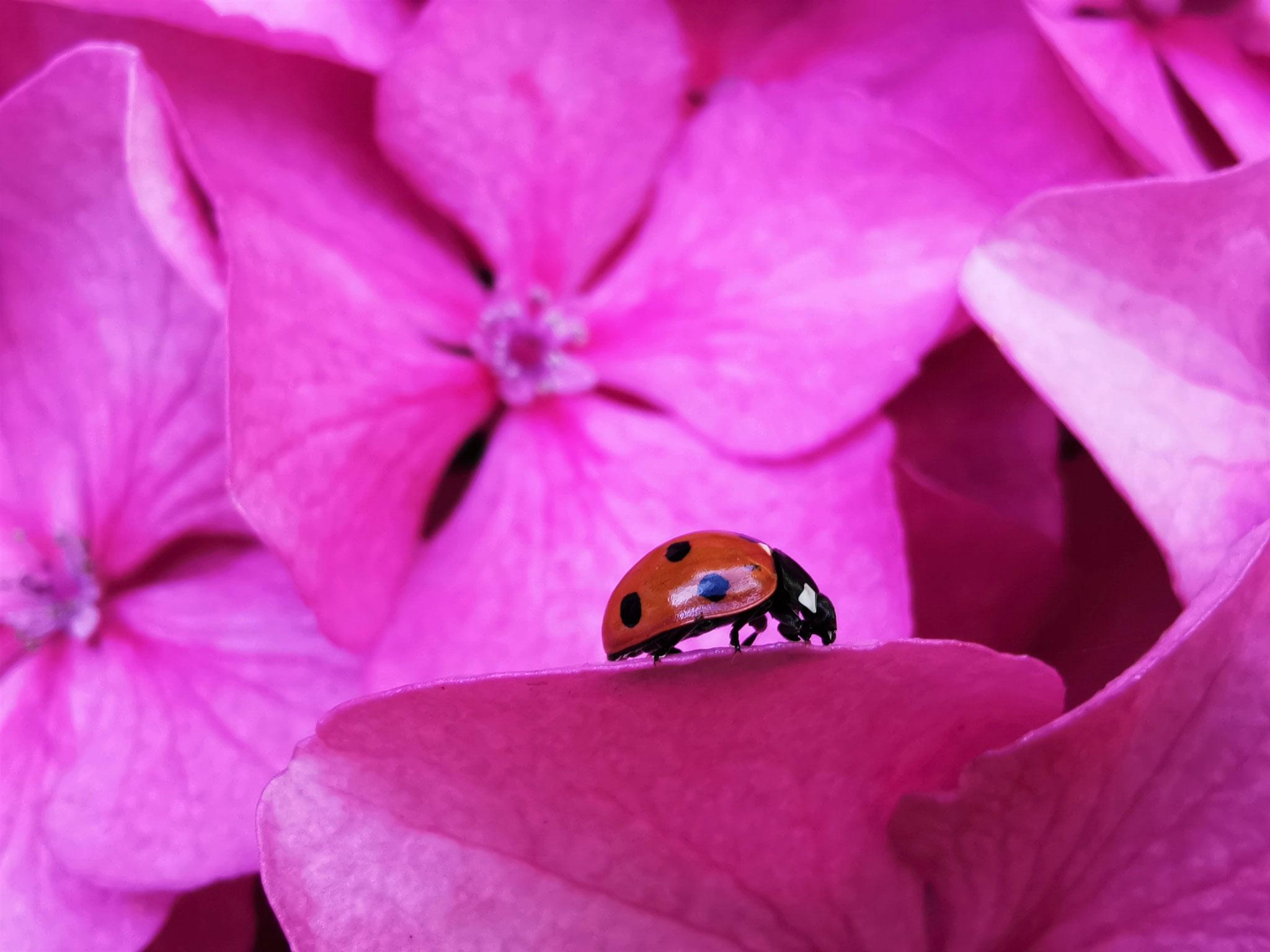 TOP 20: Eine Symphonie in Pink mit Marienkäfer ist dieses Bild von Jennifer Zoerns aus Mainz-Hechtsheim.