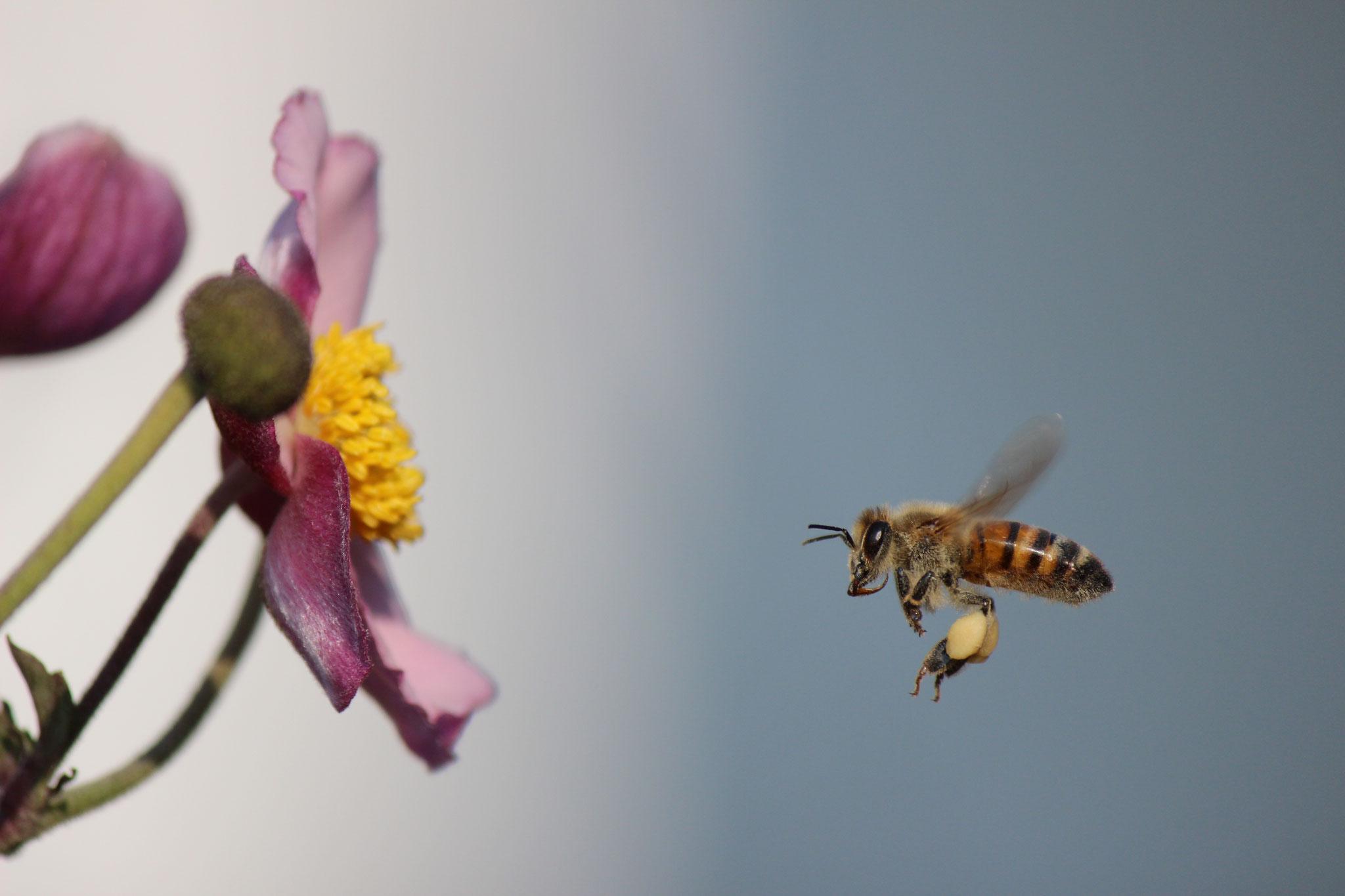 TOP 20: Markus Lenhard aus Wöllstein hat eine Honigbiene im Anflug auf eine Blüte perfekt getroffen!