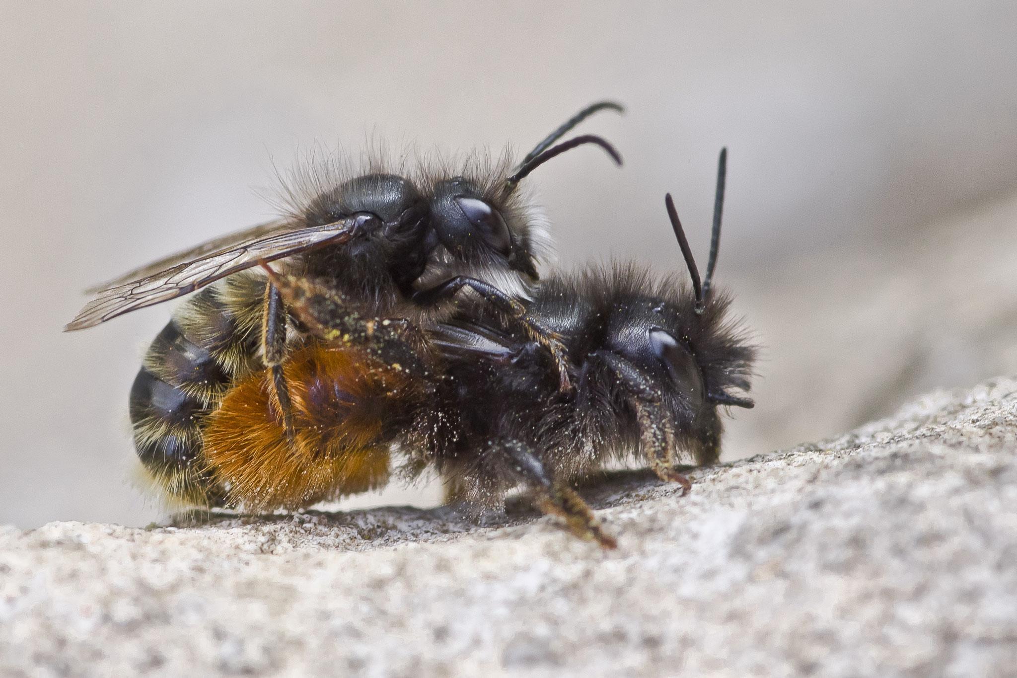 Platz 3: Dieter Roth aus Nieder-Olm hat ein Pärchen der Gehörnten Mauerbiene in einem intimen Moment erwischt.