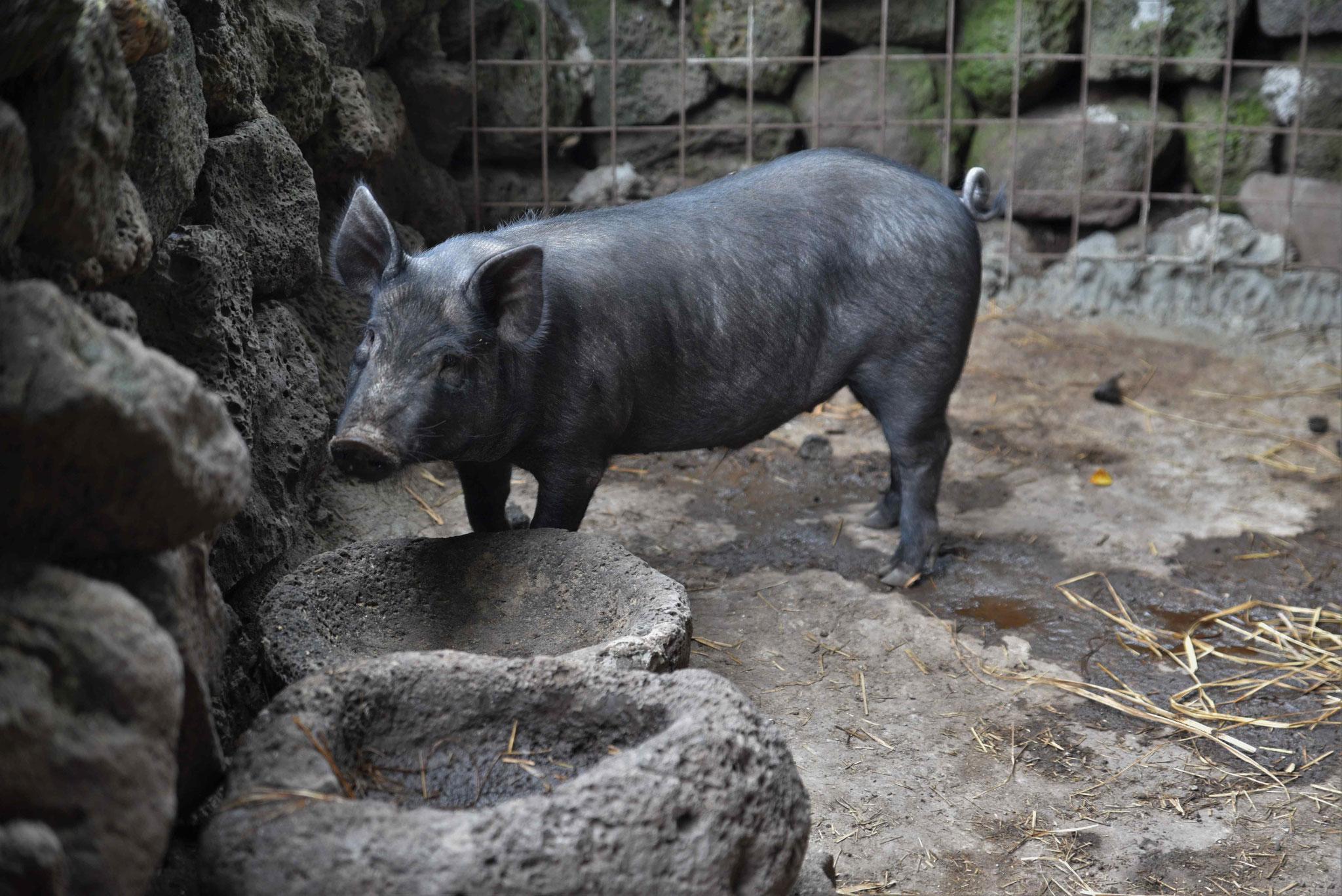 Schwarze Schweine sind typisch für Jeju