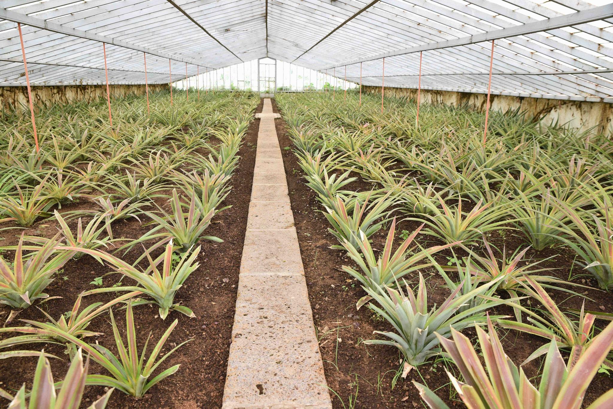18 Monate dauert es bis die Ananas geerntet werden kann auf Sao Miguel