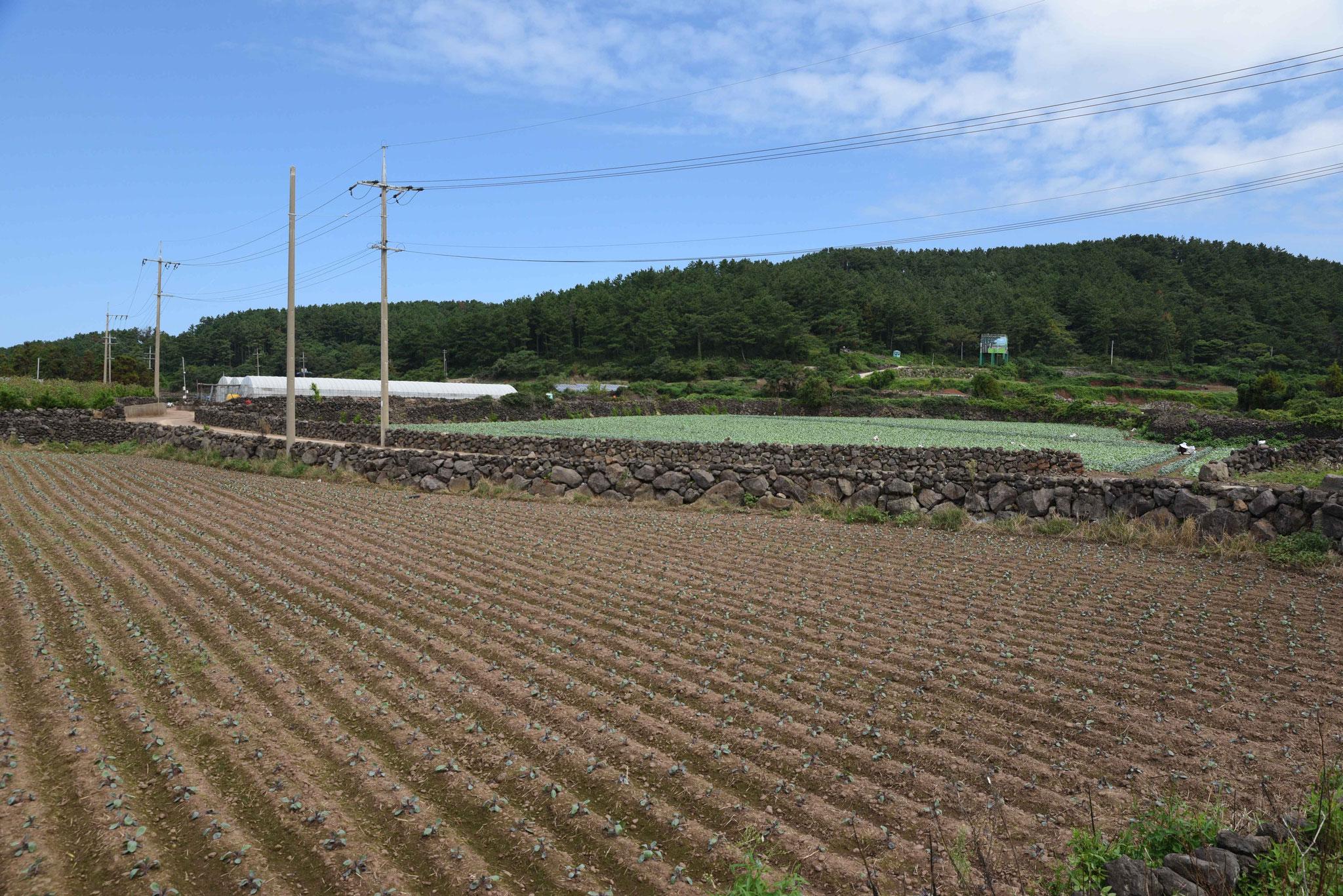 Felderwirtschaft wie auf Pico (Azoren)