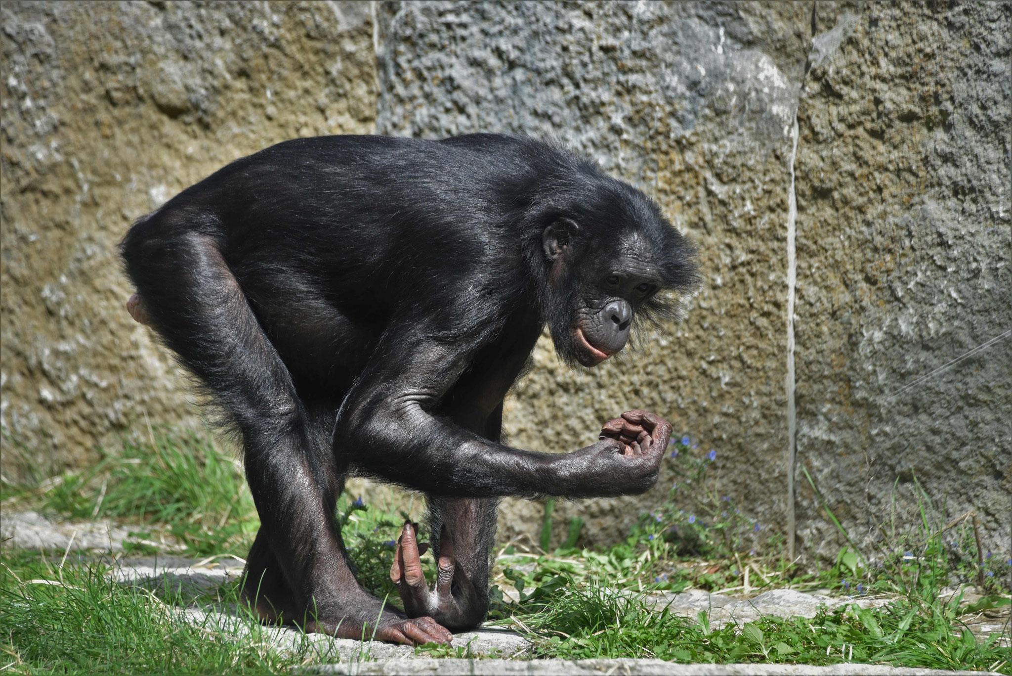 Bonobo bei der Futteraufnahme - Wilhelma, Stuttgart