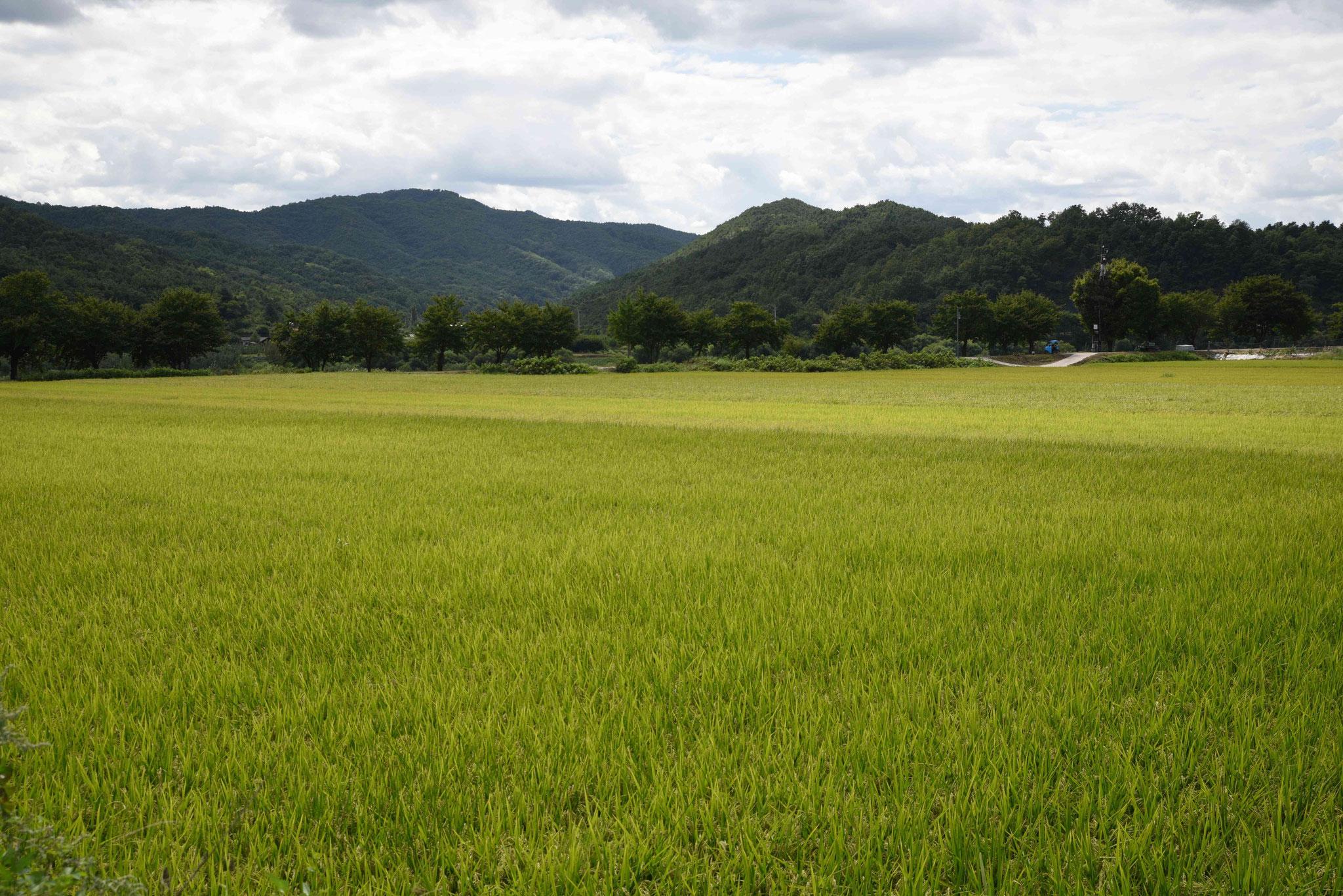 Reisfelder vor dem Hahoe Folk Village