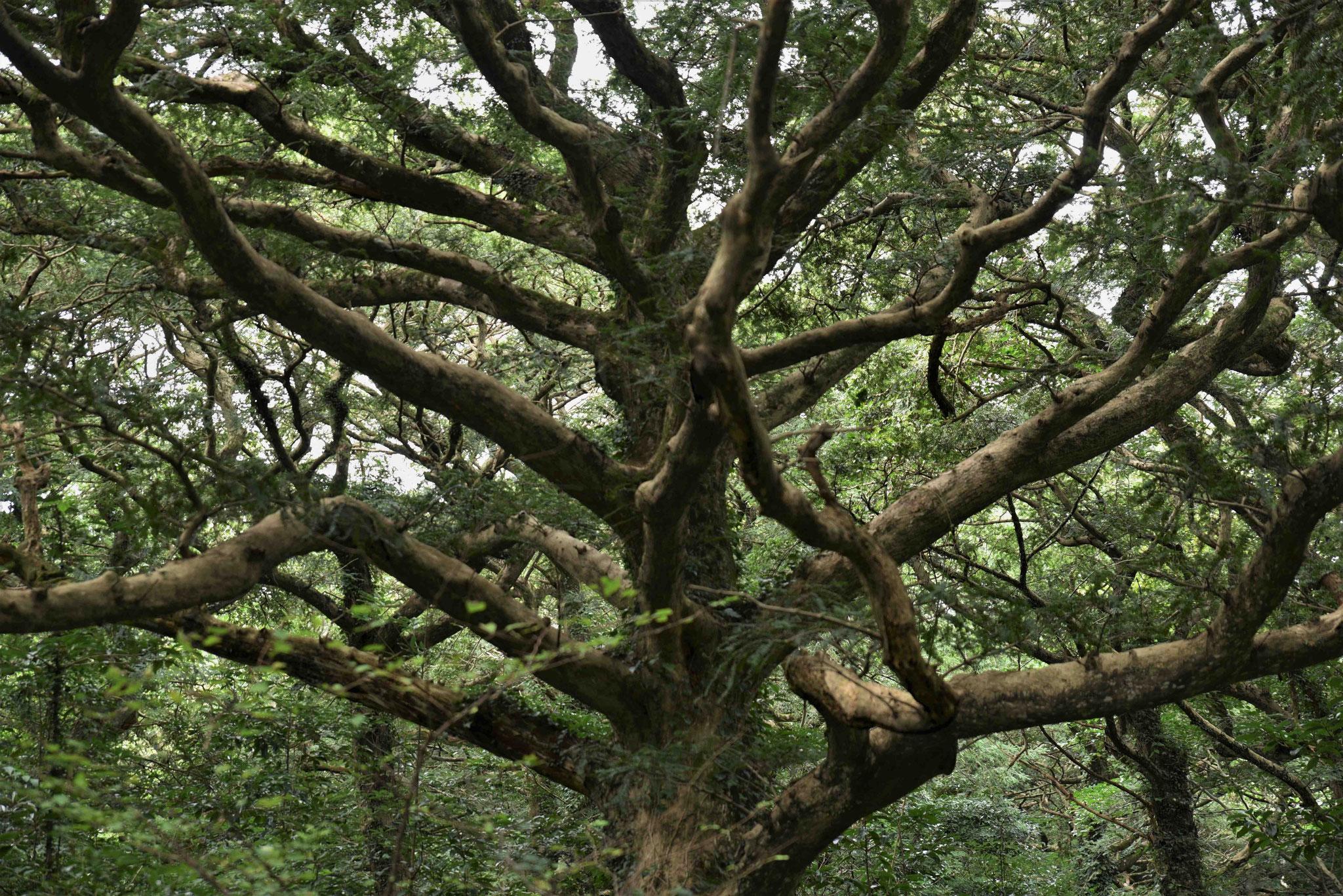 Stamm eines Muskatnussbaums