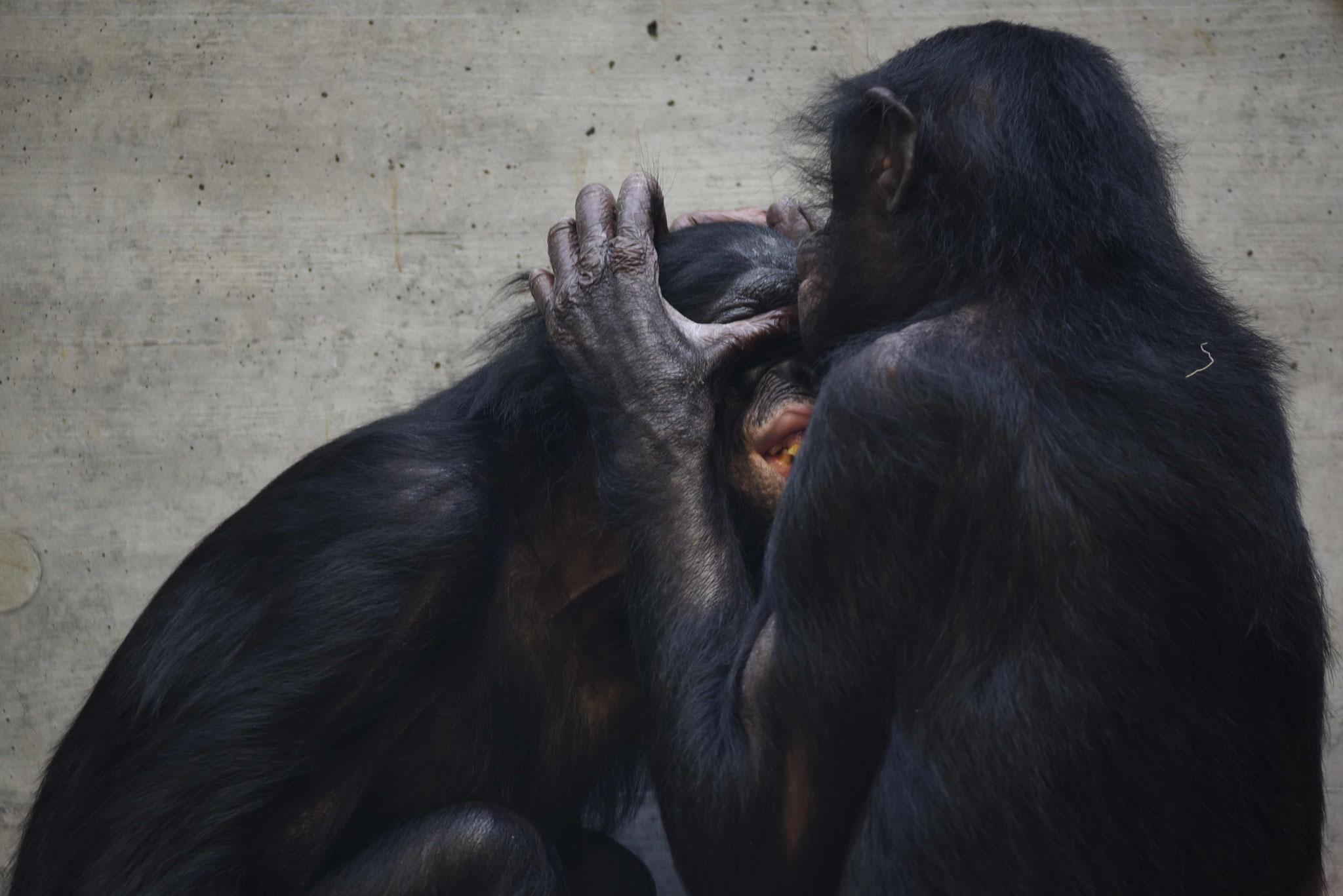 Körperpflege bei den Bonobos - Wilhelma, Stuttgart