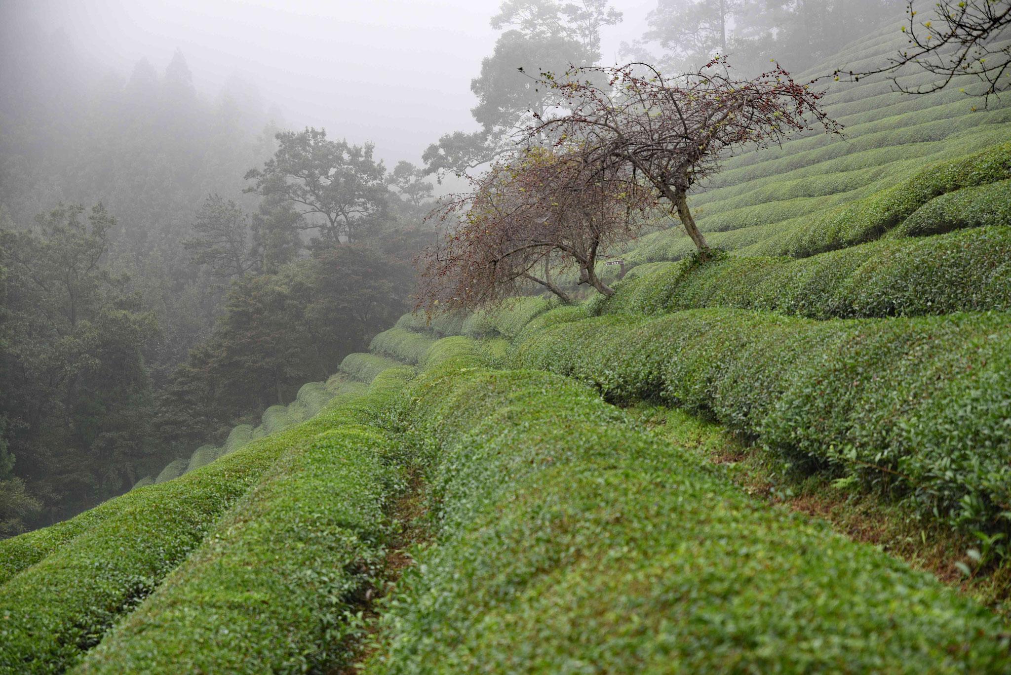 Teeplanzen mit Unterbrechung von Bäumen