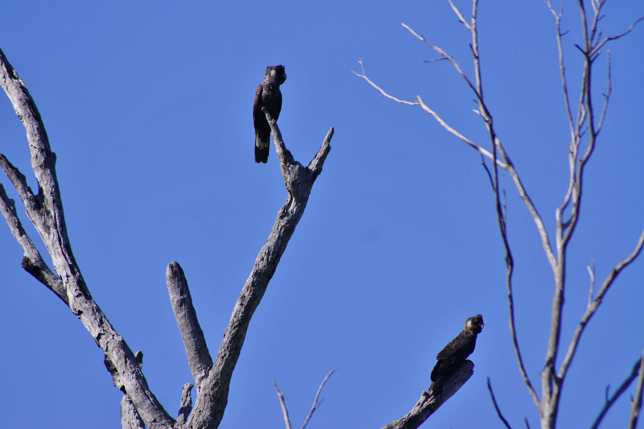 Schwarze Kakadus - sind sehr rar geworden