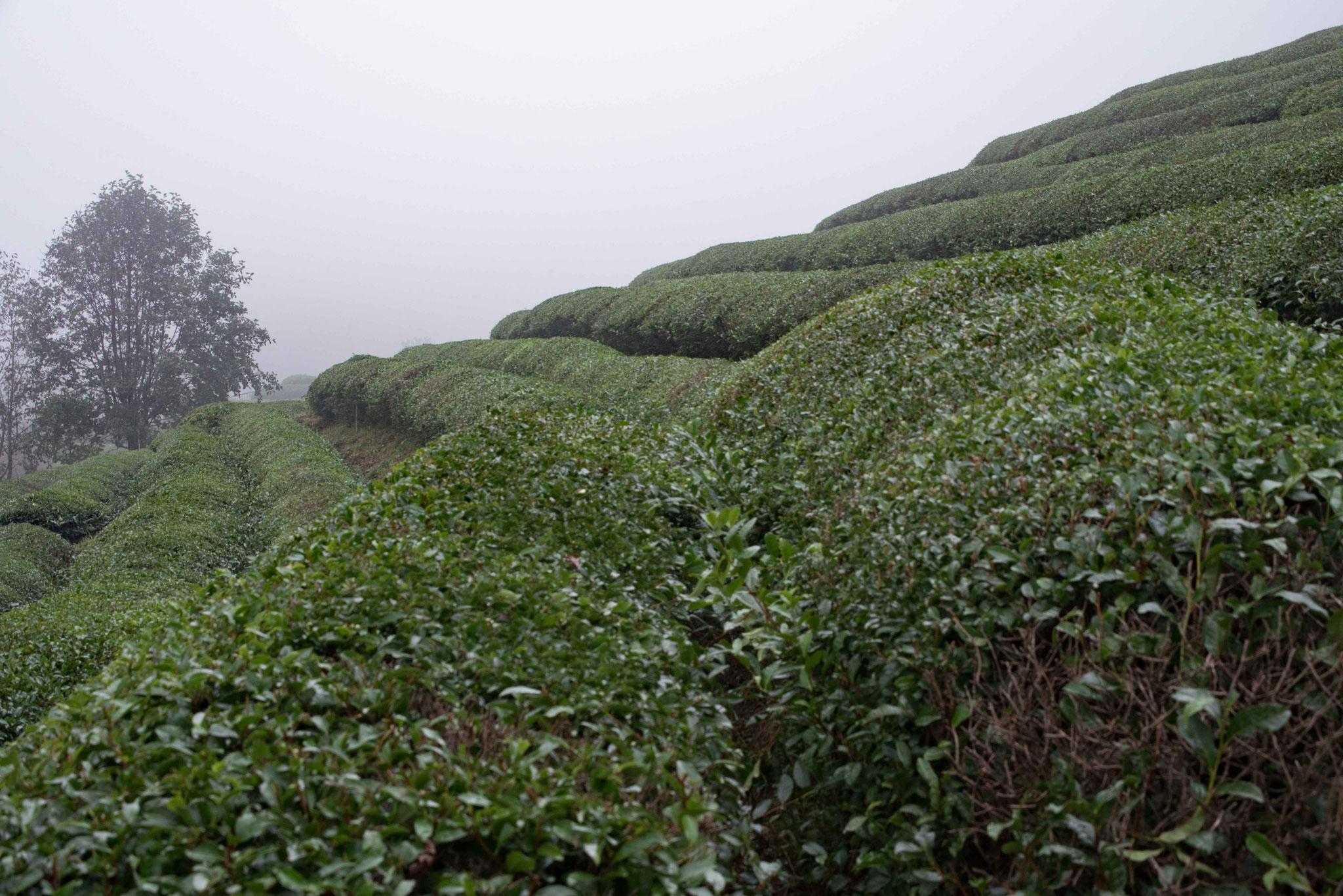 Dicht aneinder liegende Teebuschreihen
