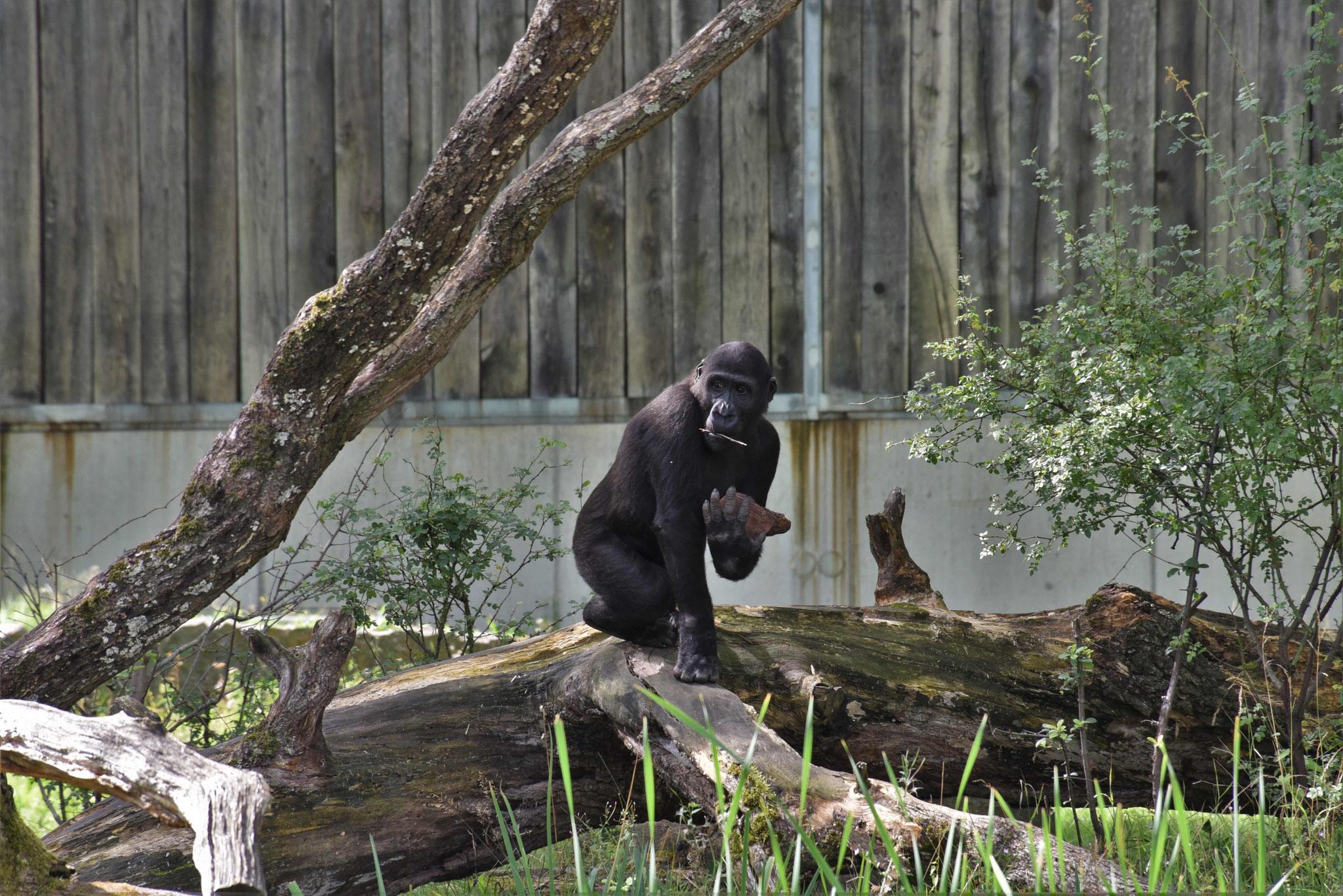 Bei den Affen bei schönem Wetter - das Außengehe der Wilhelma, Stuttgart ist offen!