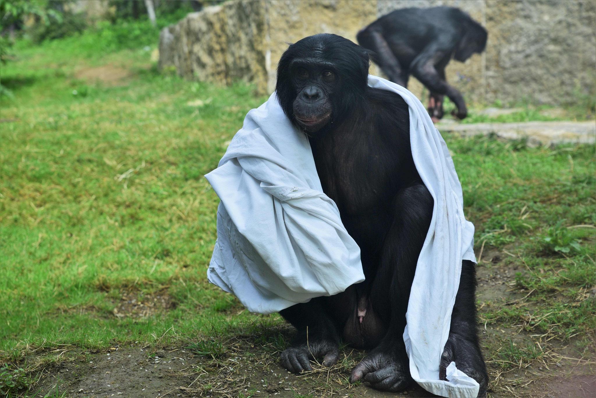 Mit Schmusedecke unterwegs - Bonobo in der Wilhelma, Stuttgart