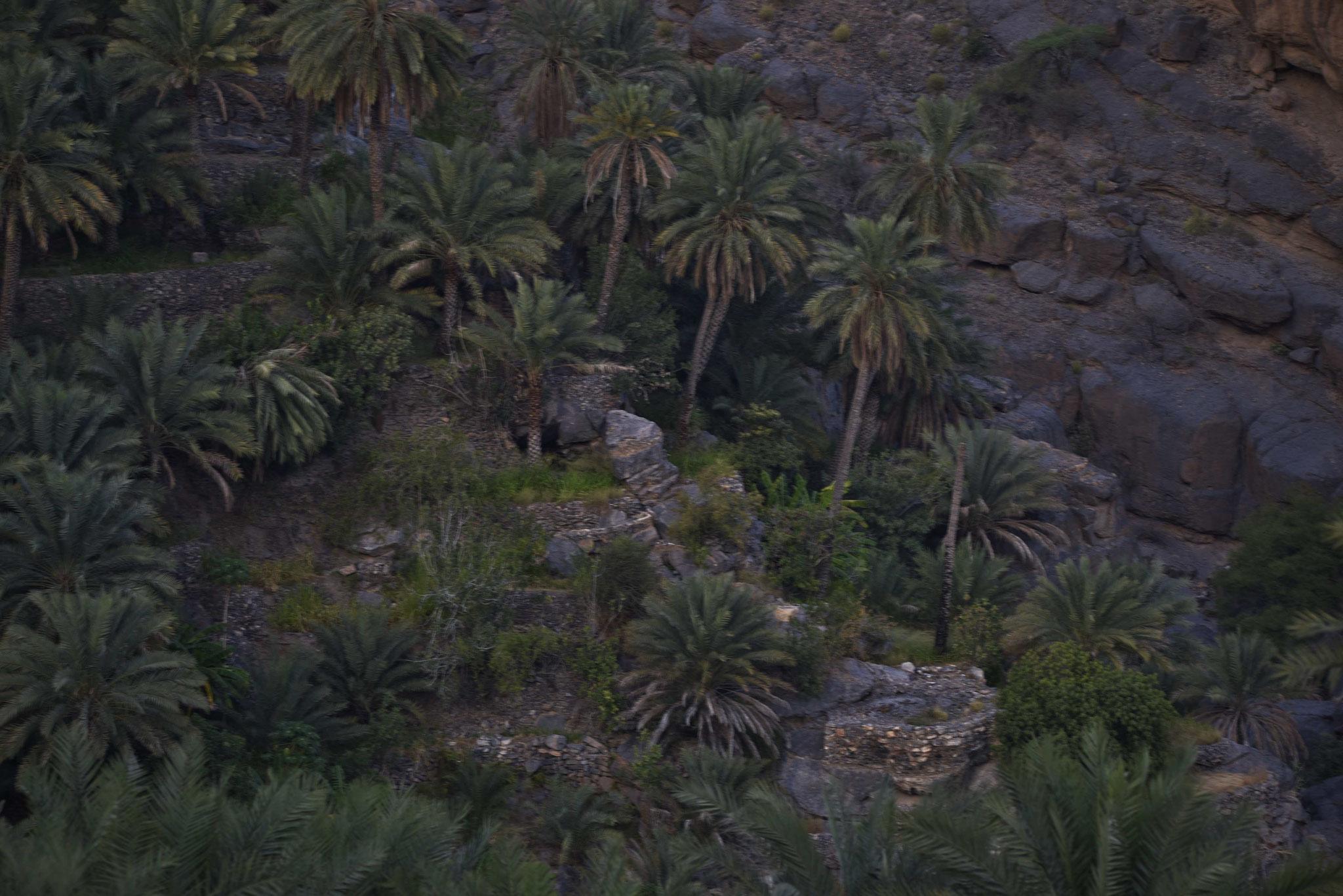 Dattelfelder bei Al Misfah Al Abriyeen