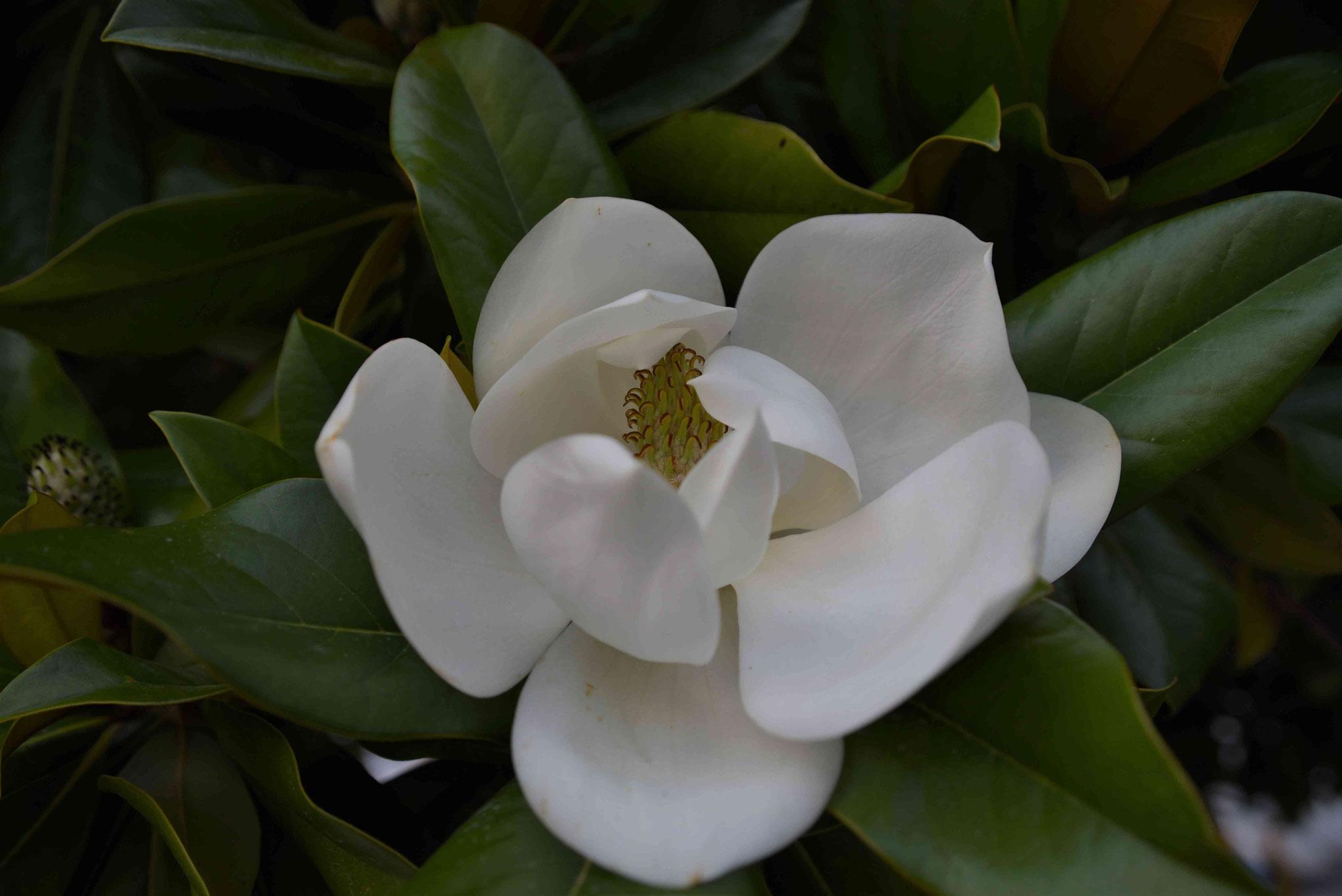 Blüte Gummibaum