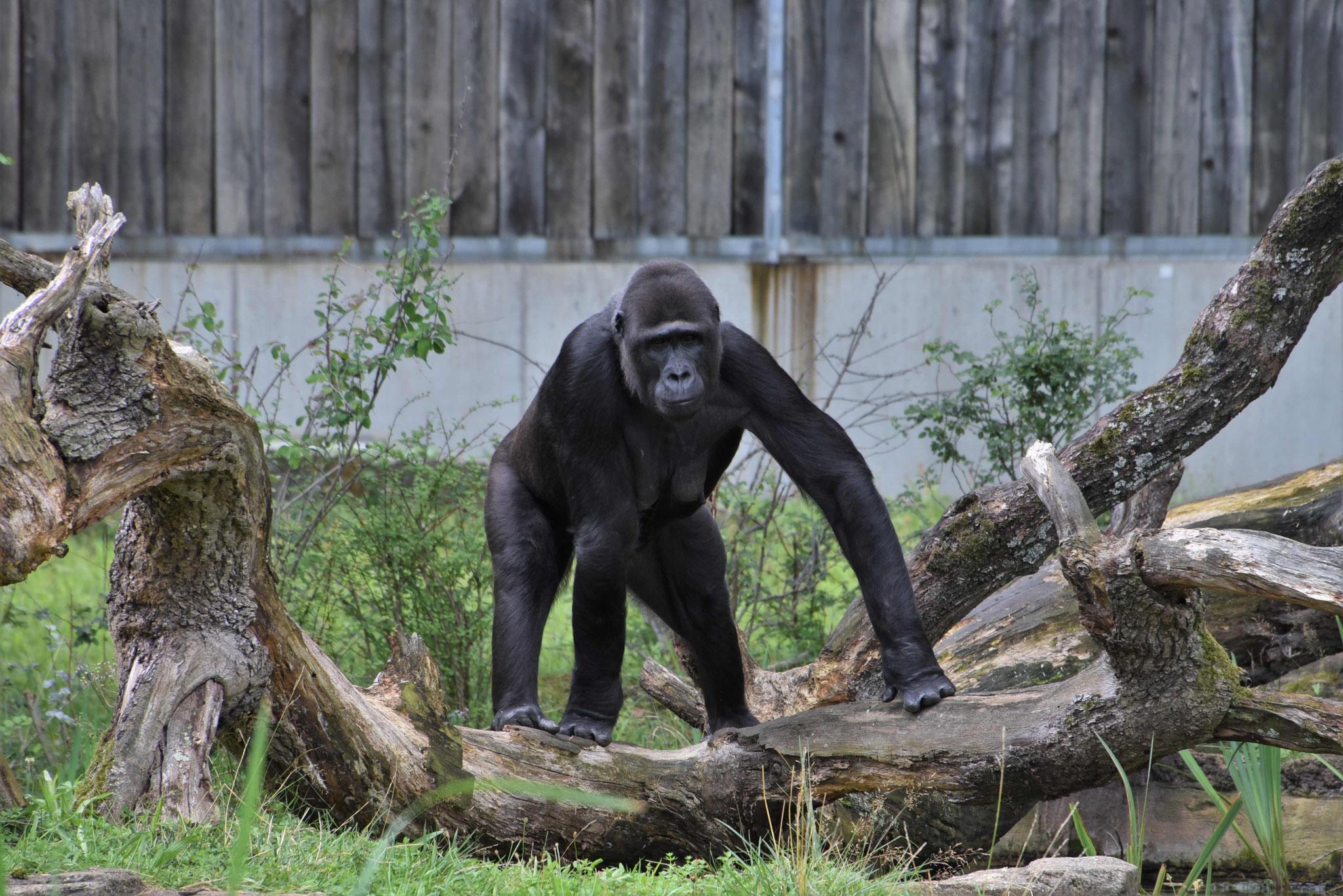 King Kong oder doch ein liebevoller Gorilla? Wilhelma Stuttgart