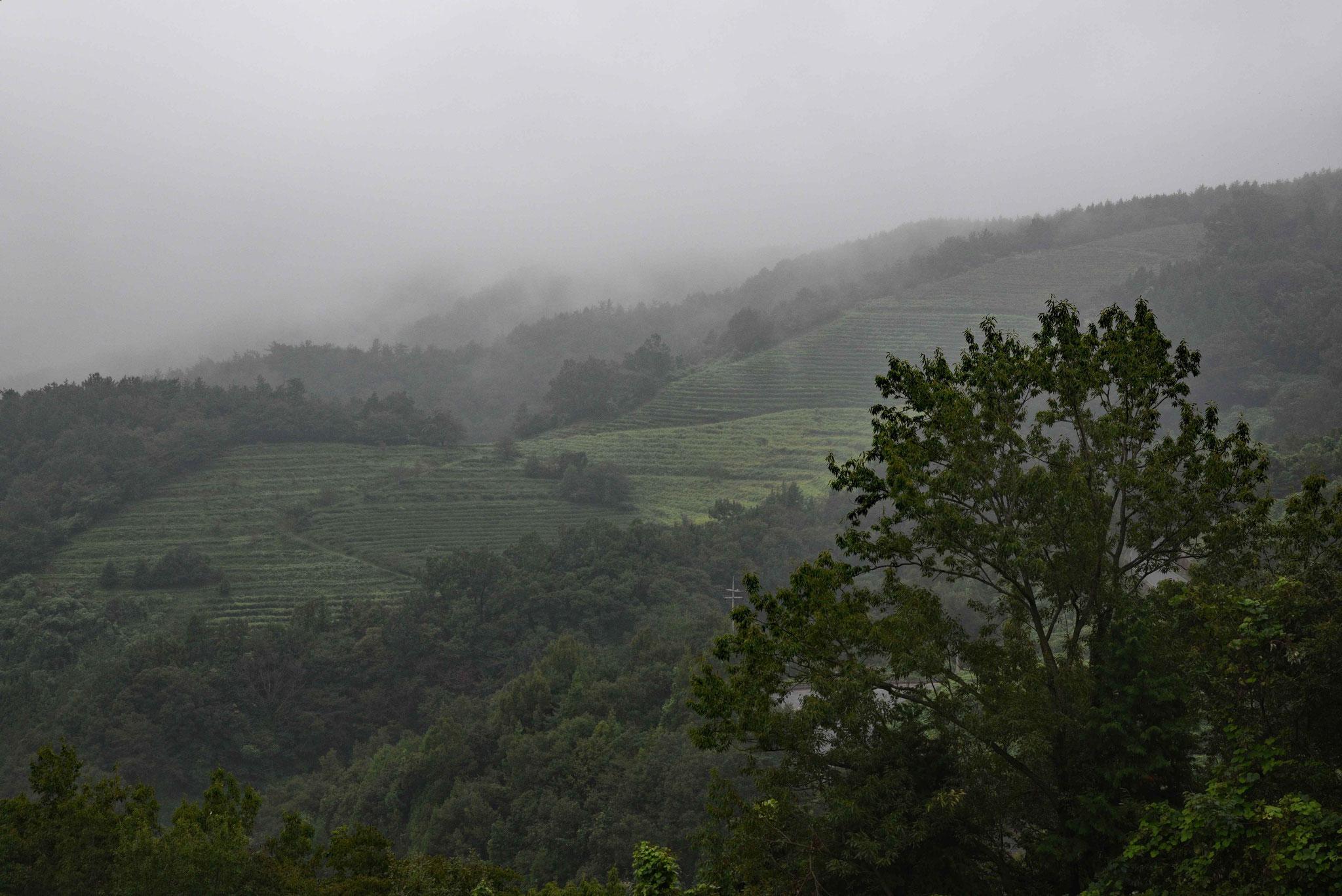 Die Gegend um Boseong hat viele Teeplantagen