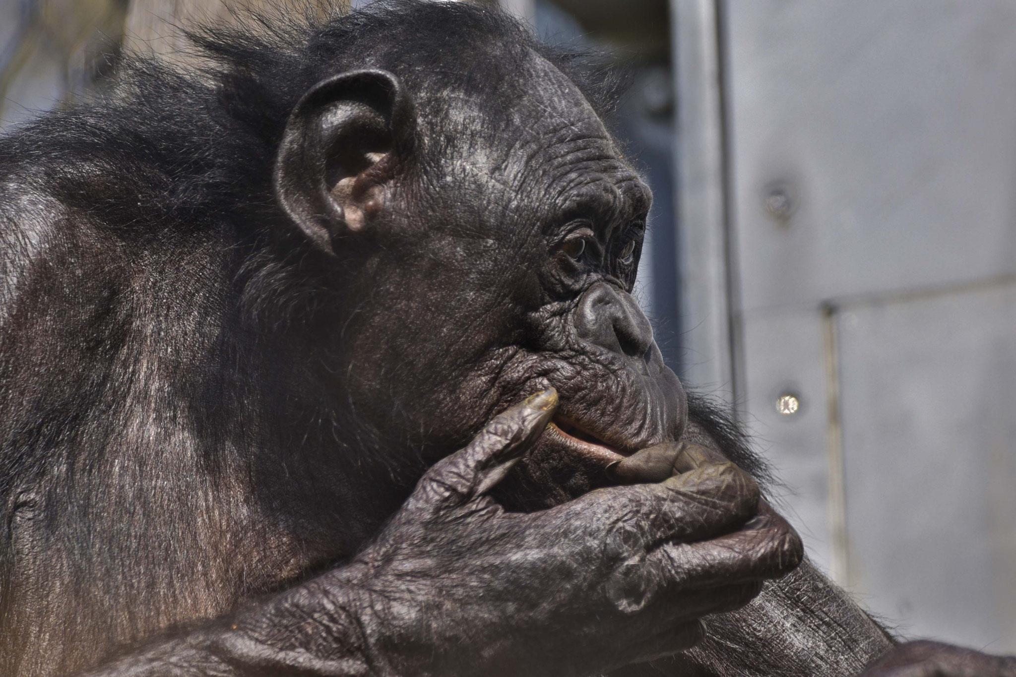 Bonobo im Außengehege der Wilhlema, Stuttgart