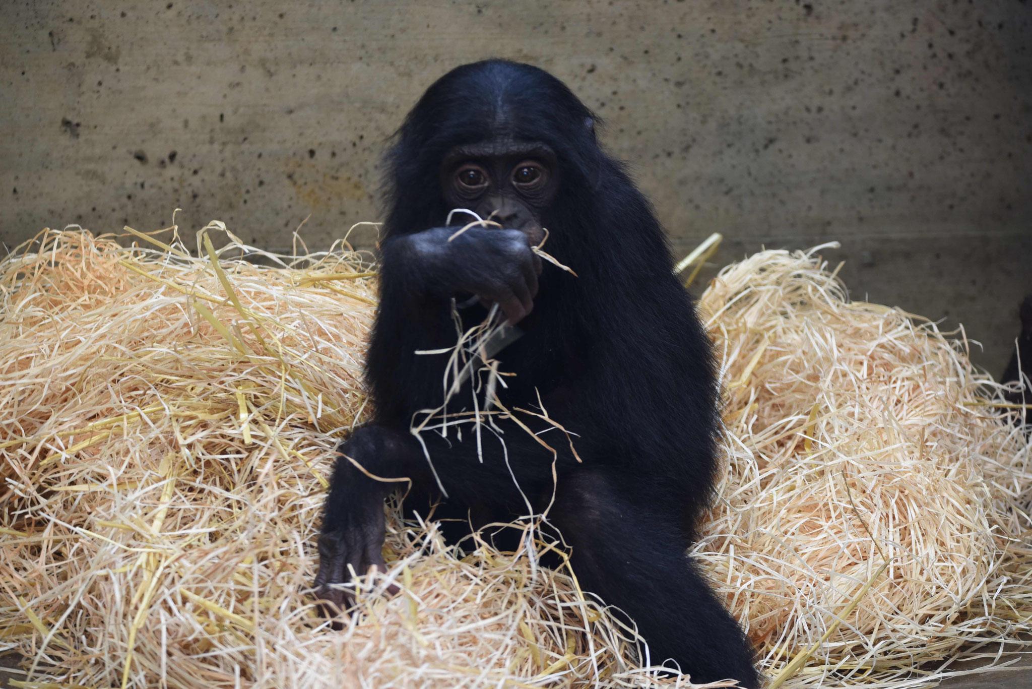 Bonobojunges, Wilhelma, Stuttgart