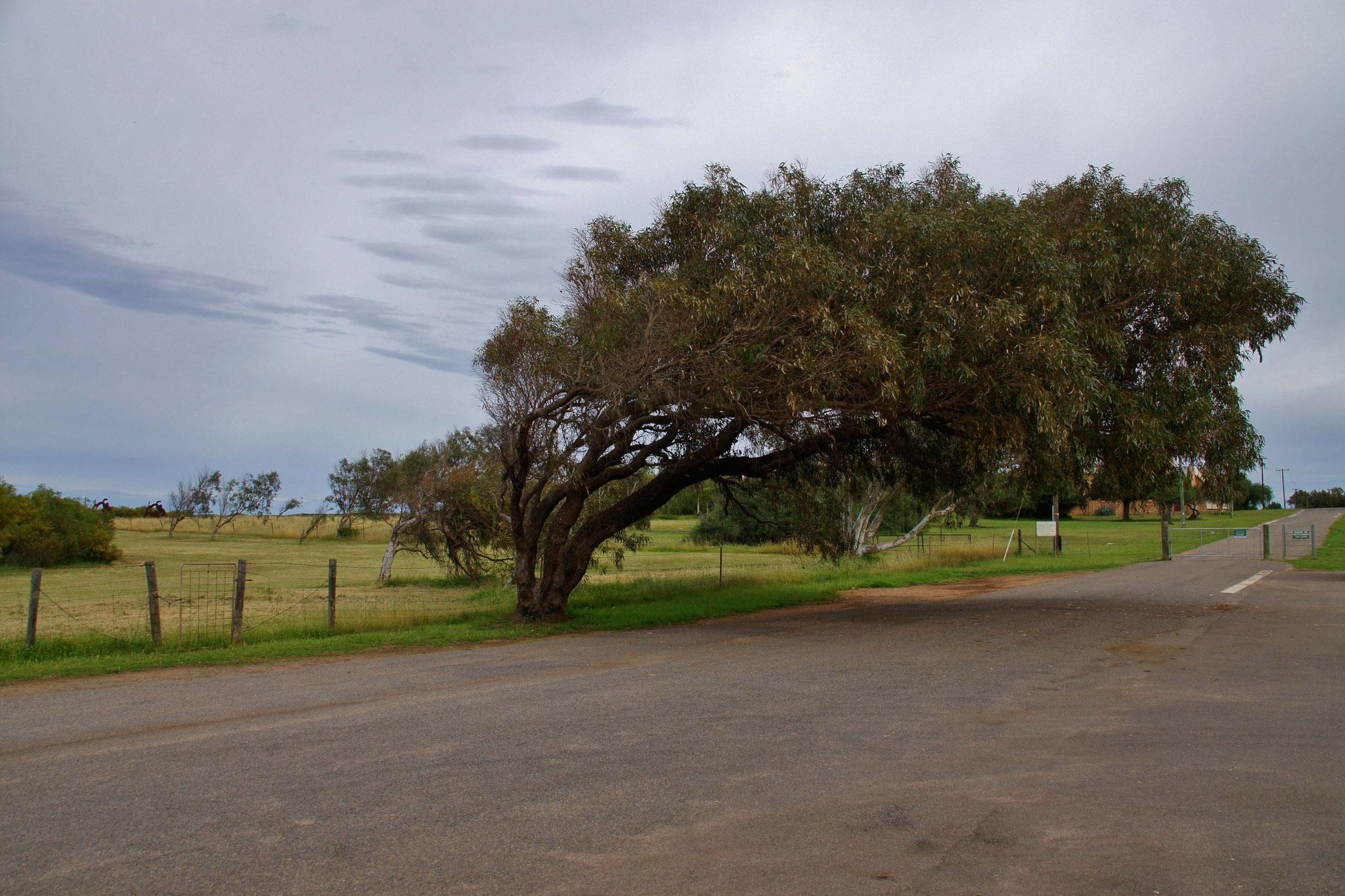Leaning tree - durch ständige, aus der gleichen Richtung kommende Winde geneigte Bäume