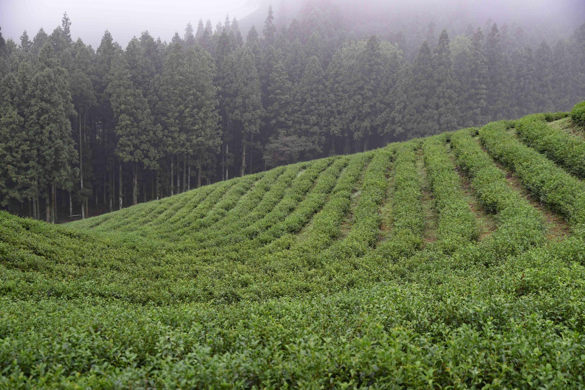 Wieviel Tee hier wohl geerntet wird?