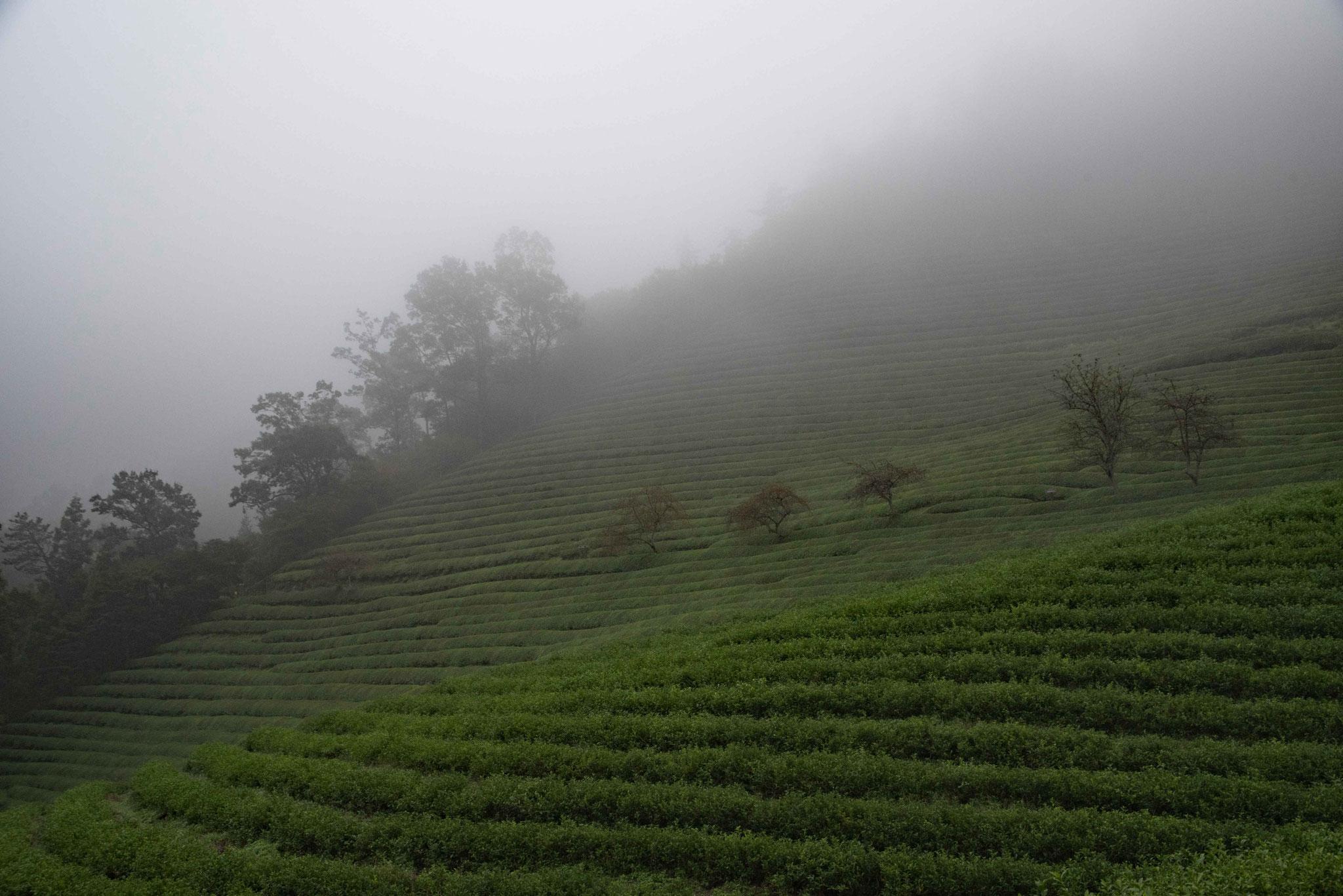 Die Feuchtigkeit des Regen und Nebels mögen die Teeplanzen