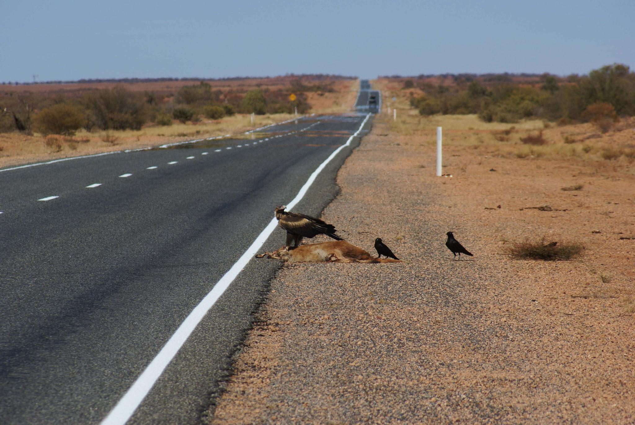 Aasverwerter bei Alice Springs - tote Kängurus helfen den Vögeln beim Überleben