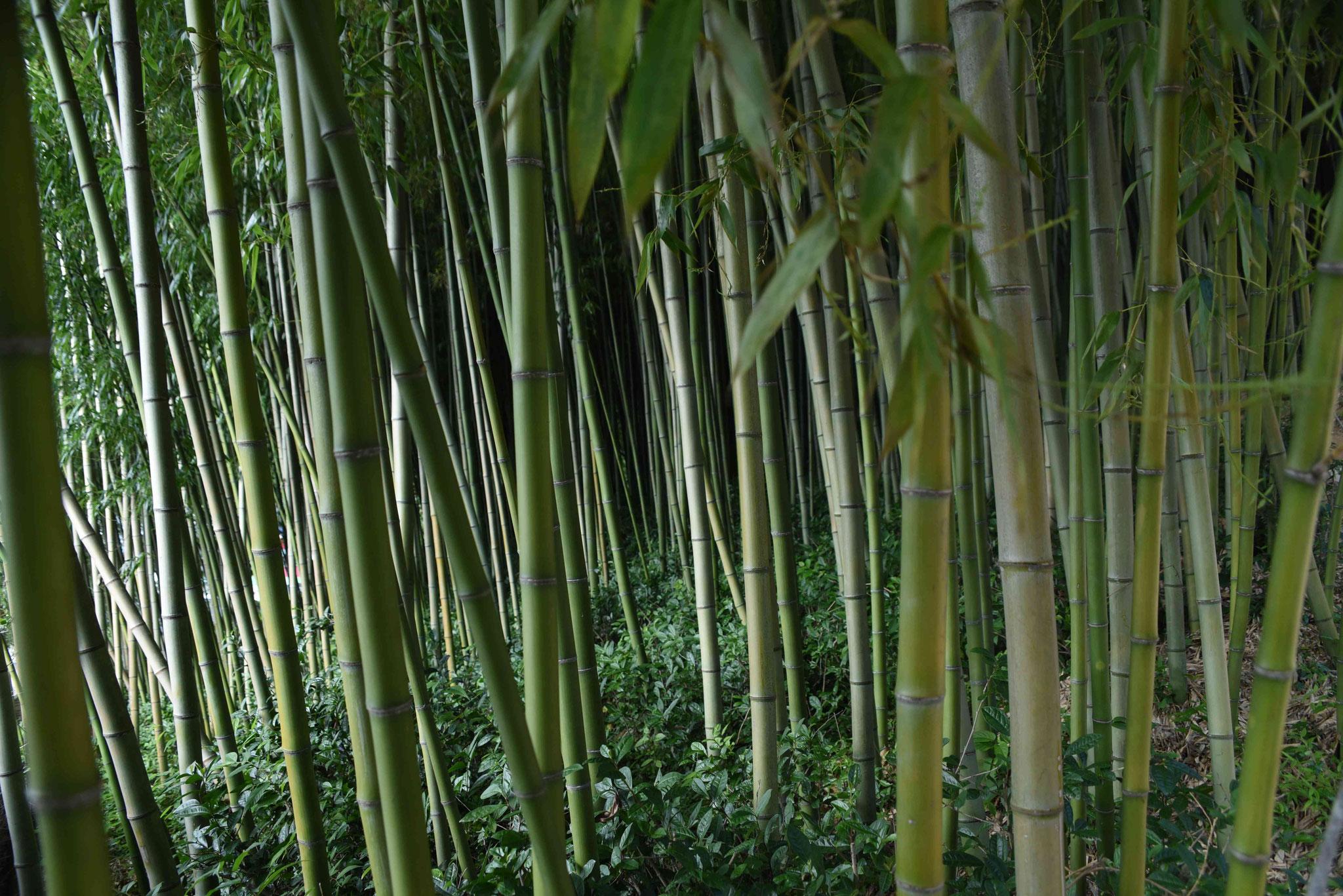 Dickicht aus Bambus